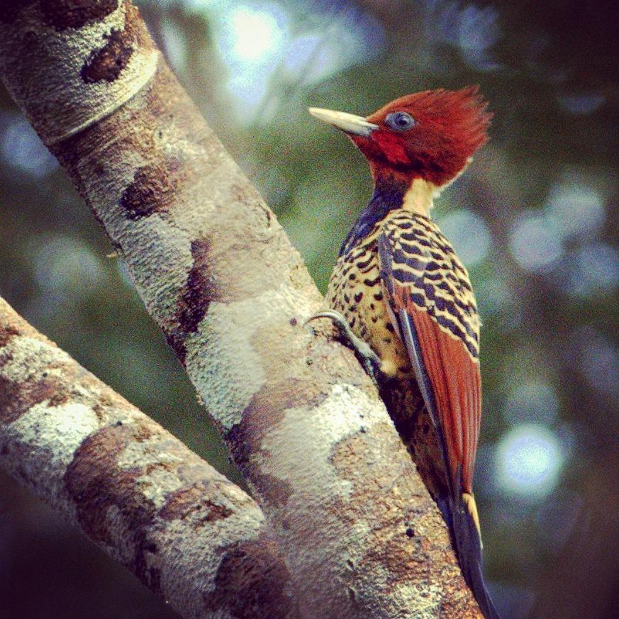 Male Rufous-headed Woodpecker at Saona Lodge, Peru. Gunnar Engblom