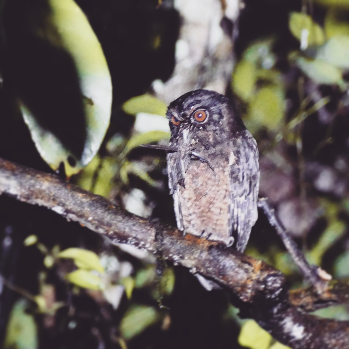 A Tawny-bellied Screech-Owl with a large insect after dark at Shiripuno Lodge, Ecuador. Noah Strycker