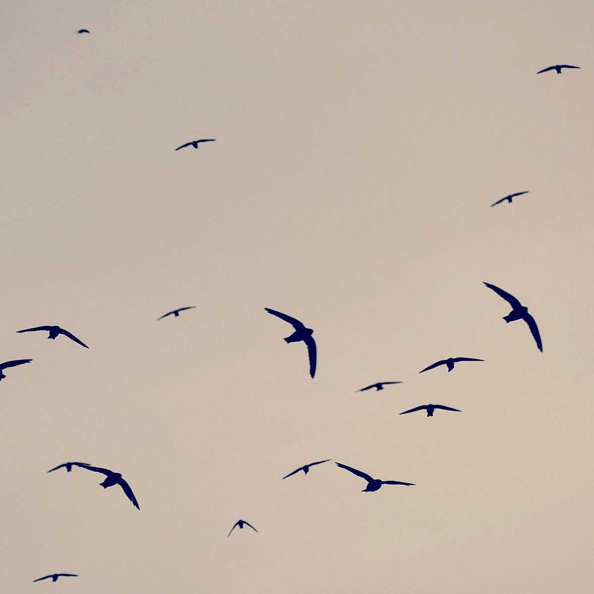 Biscutate Swifts swooping toward their cliffside roost at dusk. Photo by Noah Strycker