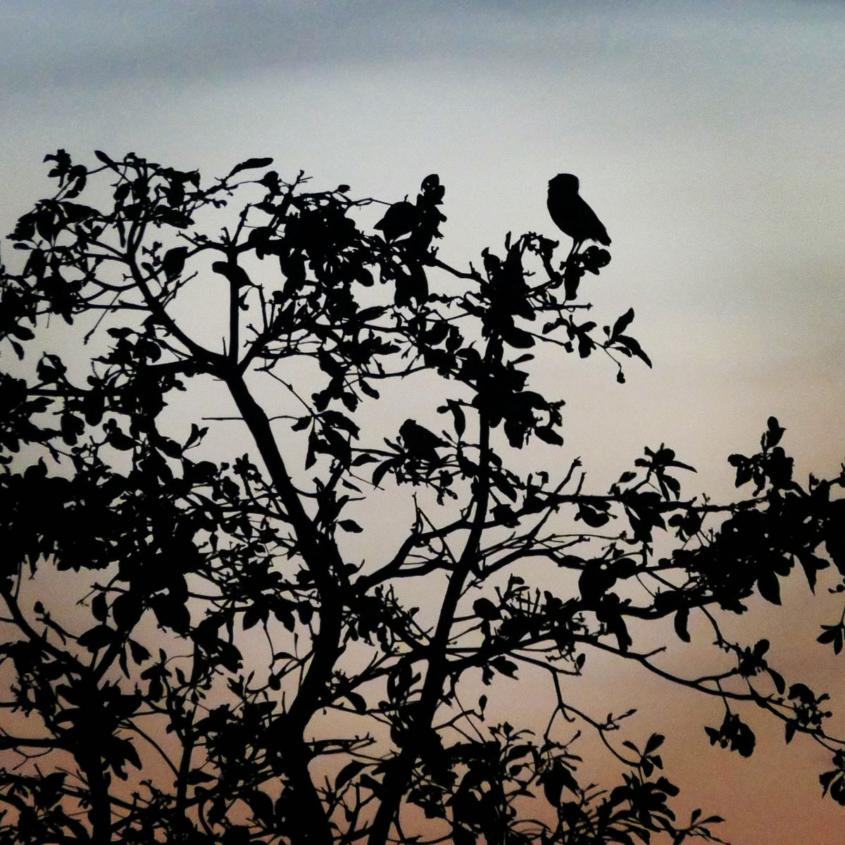 A Burrowing Owl is silhouetted against the sunrise, Chapada dos Guimaraes National Park Noah Strycker