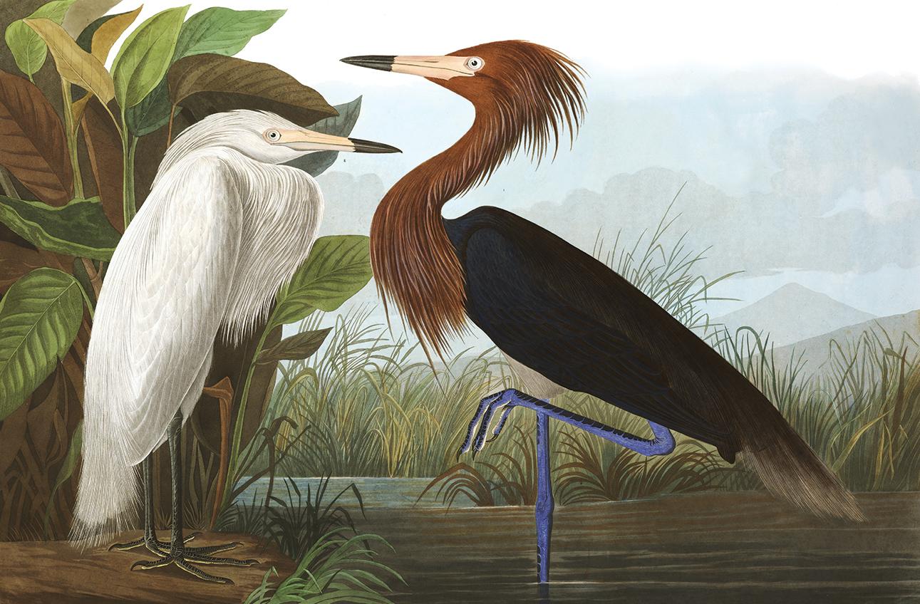 John James Audubon's Purple Heron is our Reddish Egret. John James Audubon