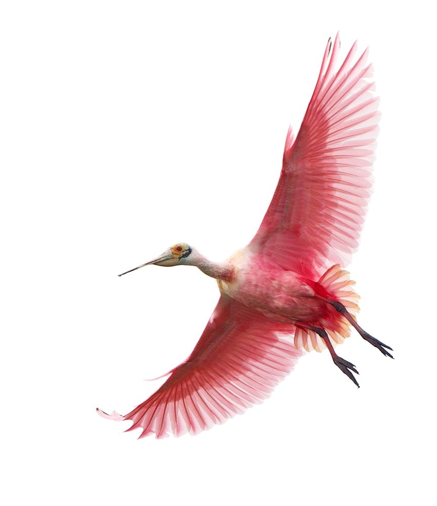 Roseate_Spoonbill_Michael_Rosenbaum_Audubon_Photography_Awards