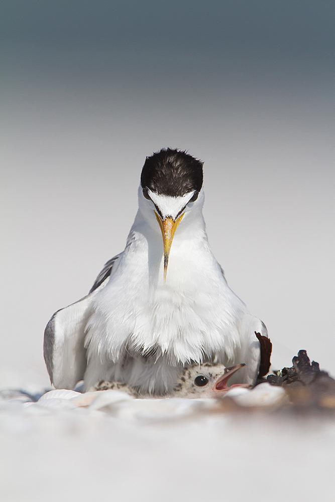 Least_Tern_Fabiola_Forns_Audubon_Photography_Awards