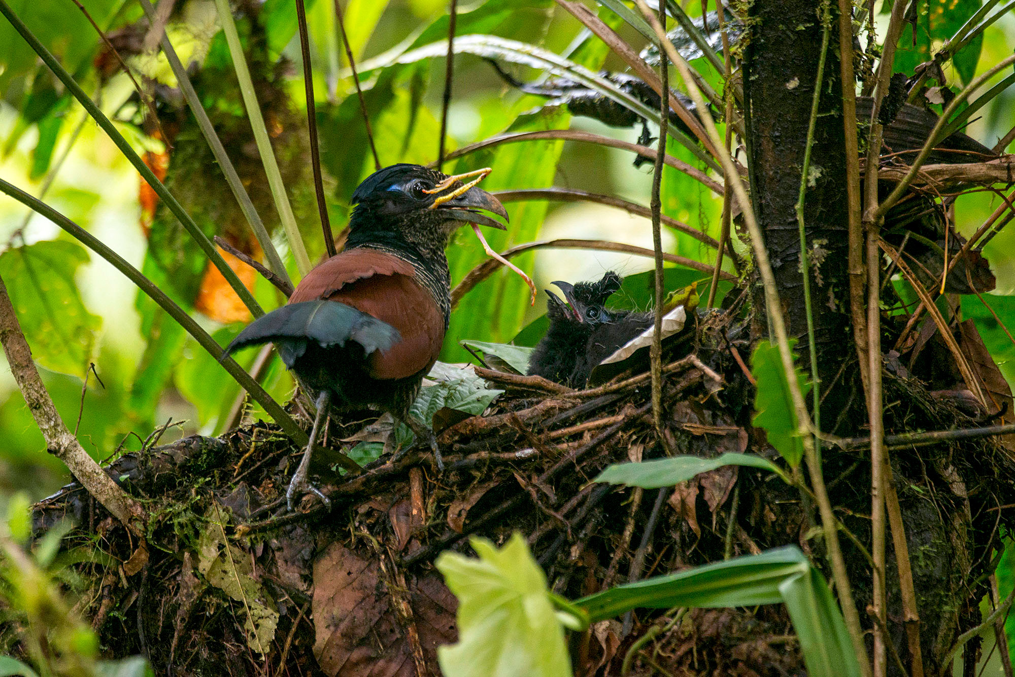 Banded Ground-Cuckoo at nest feeding a tree frog to chick, photographed in 2014. Murray Cooper