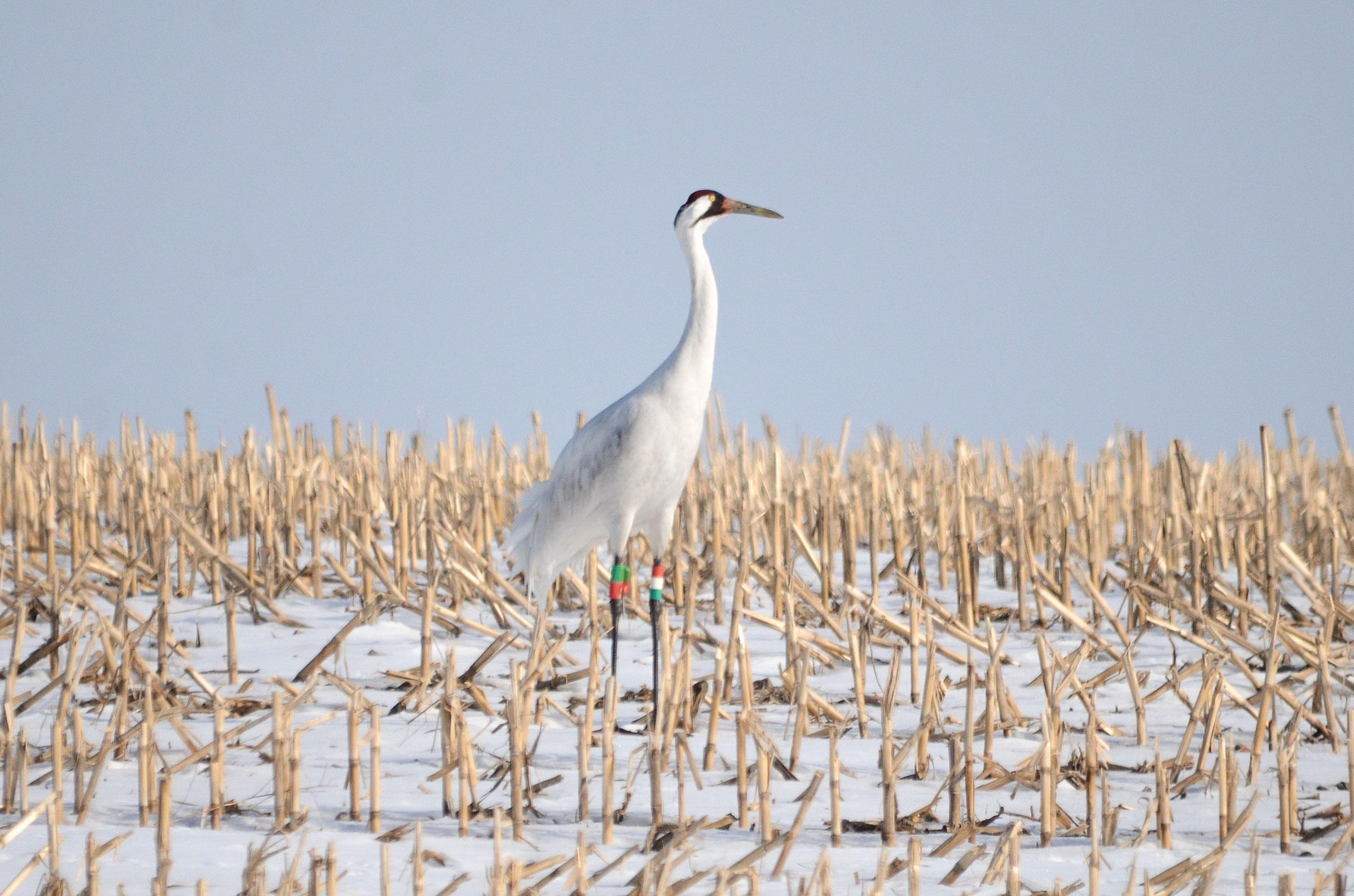 16-11 on the crane's breeding grounds in Wisconsin. Doug Pellerin