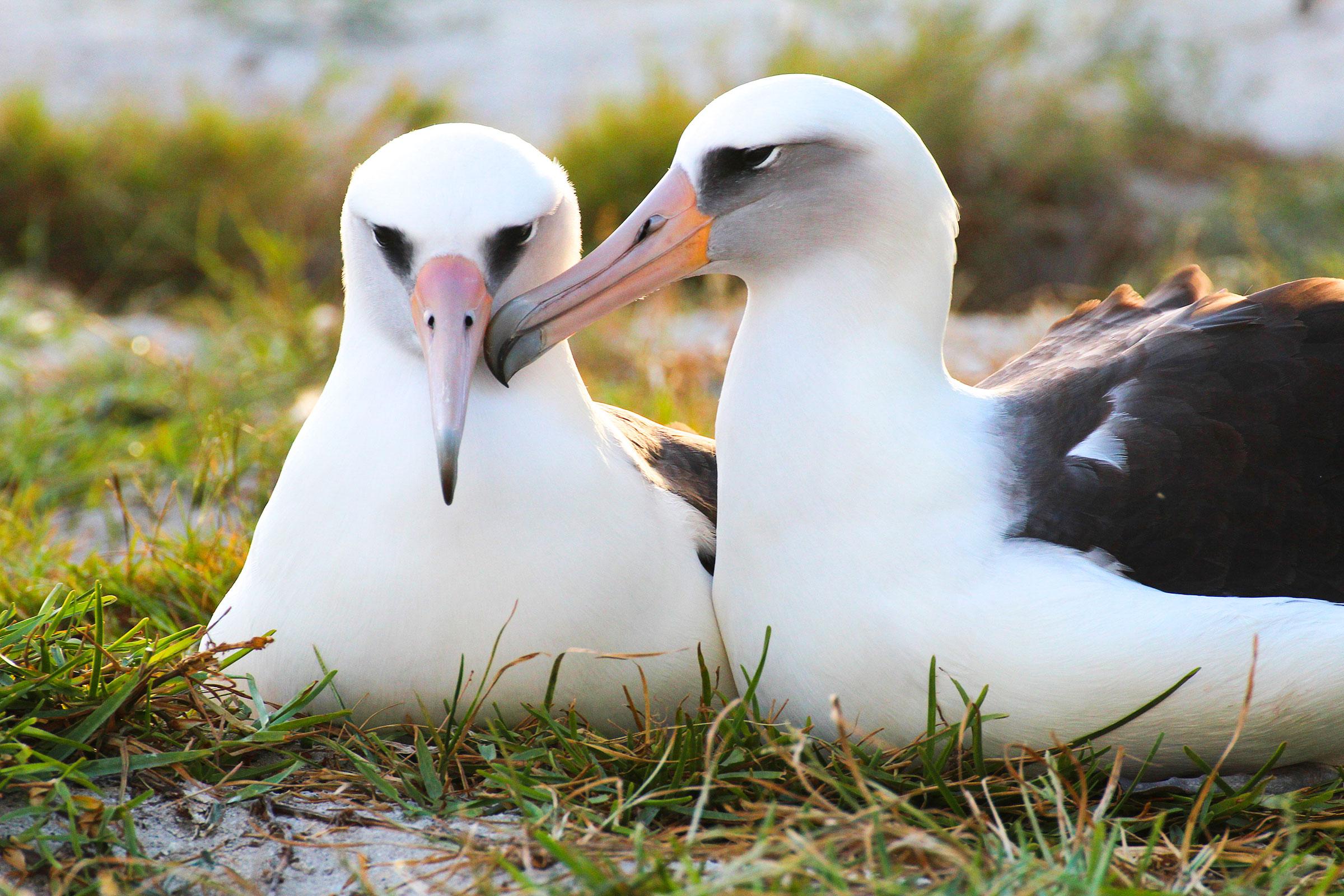 Laysan Albatrosses. Kiah Walker/USFWS