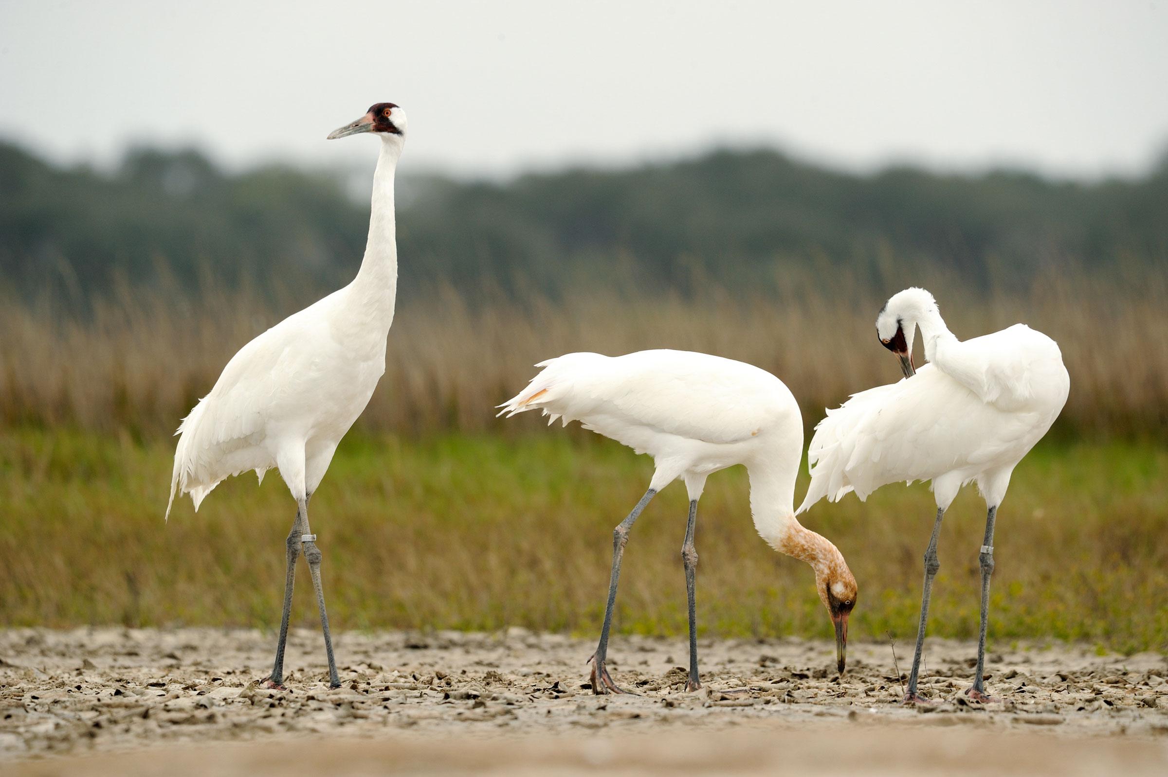 Whooping Cranes. Klaus Nigge/USFWS