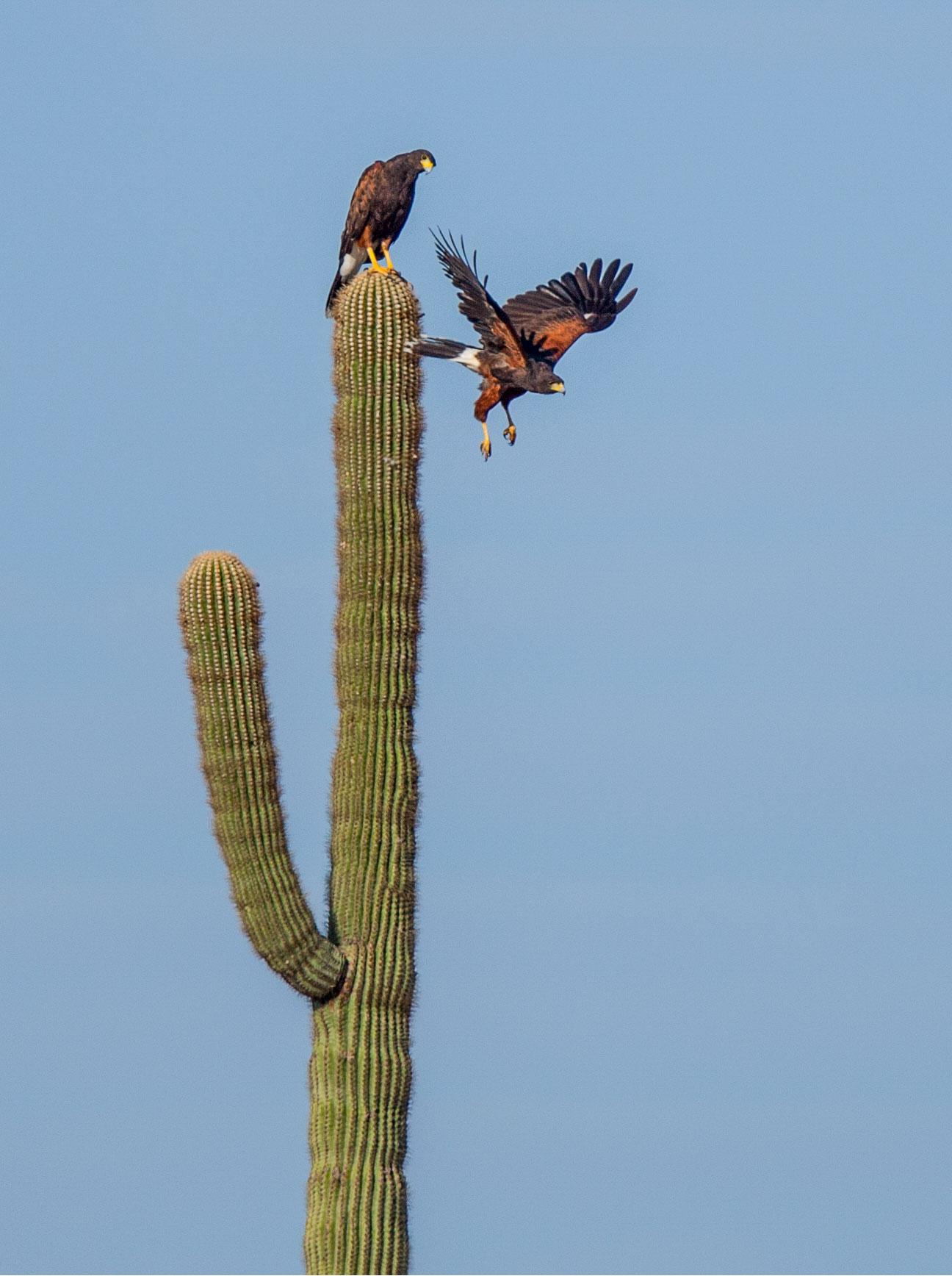 Harris's Hawks. Richard Simonsen