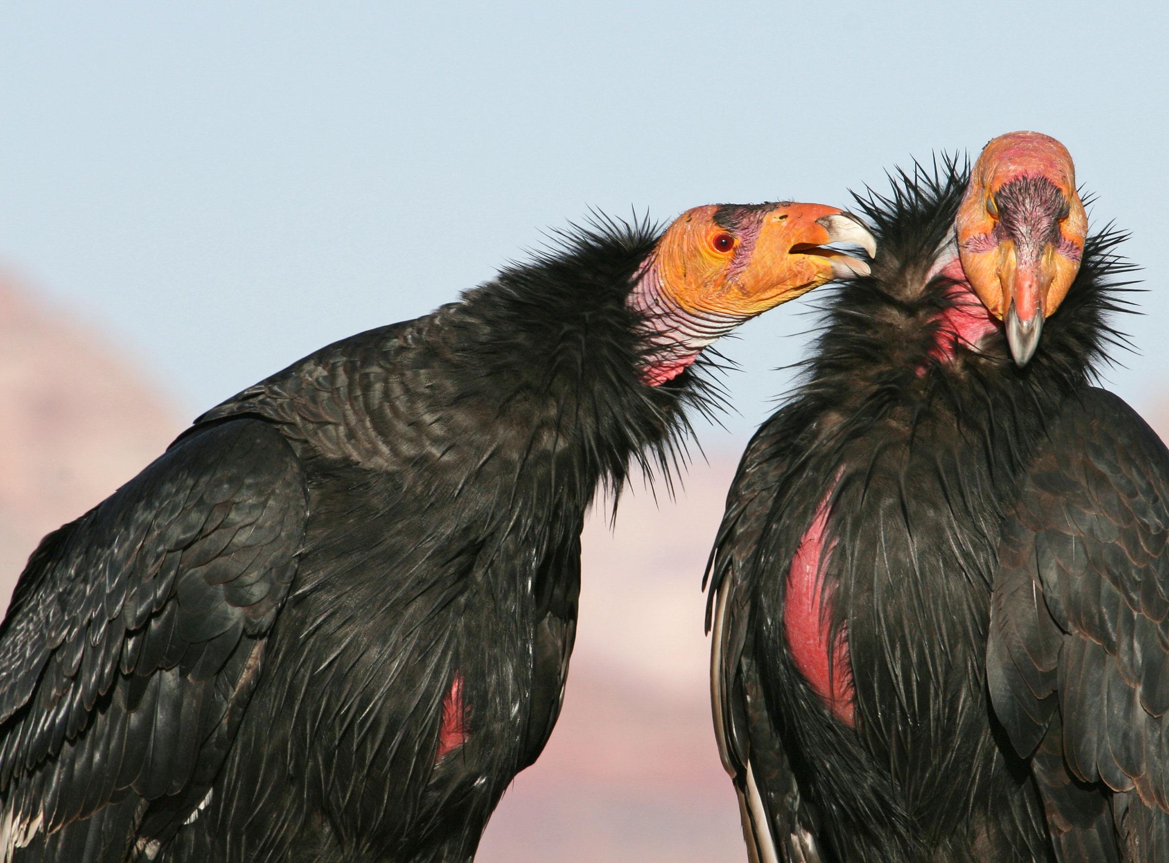 California Condors. Marc Slattery/Audubon Photography Awards