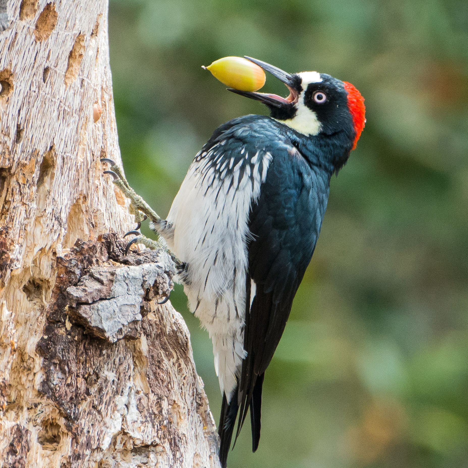 Don't let the Acorn Woodpecker's clownlike appearance fool you. These birds can scrap. Heather Roskelley/Audubon Photography Awards