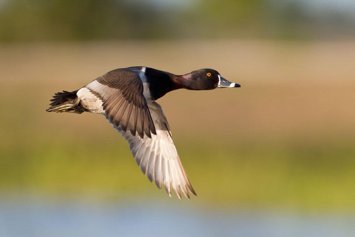 Ring-necked Duck. Ron Bielefeld/Audubon Photography Awards