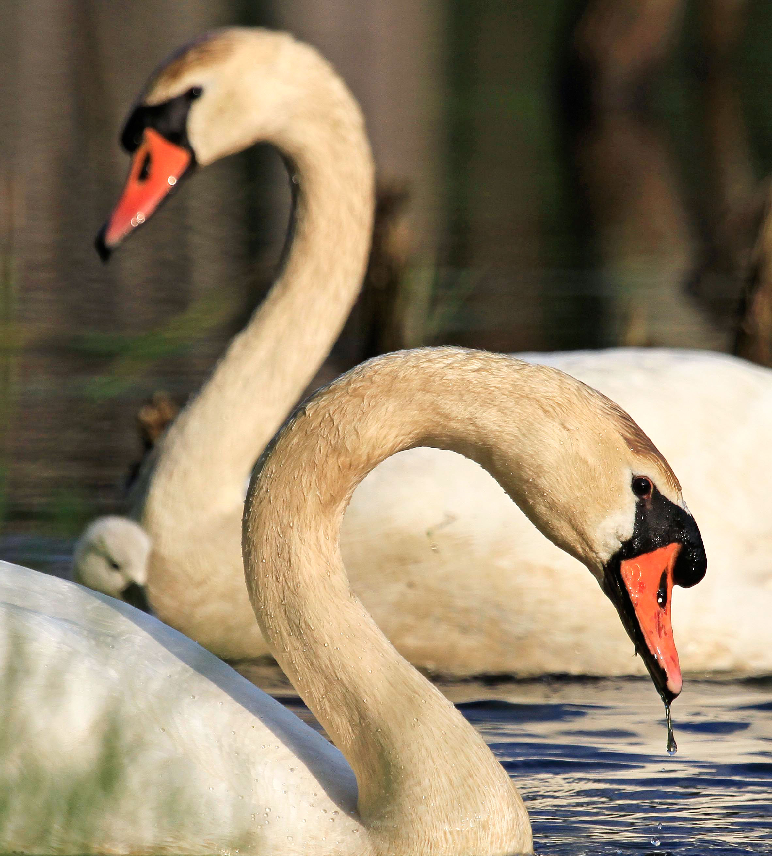 Mute Swans. Matthew Callahan/Audubon Photography Awards