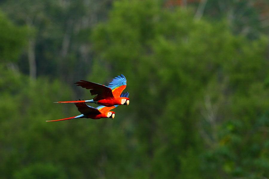Scarlet Macaws. Tracey Kidston/Audubon Photography Awards
