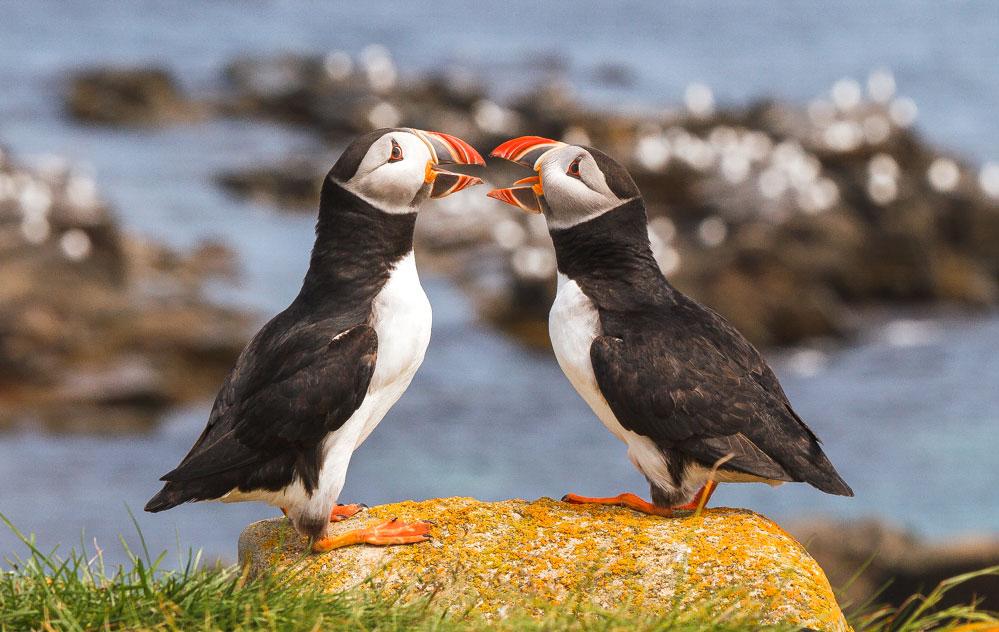 Atlantic Puffins. Lorraine Minns/Audubon Photography Awards