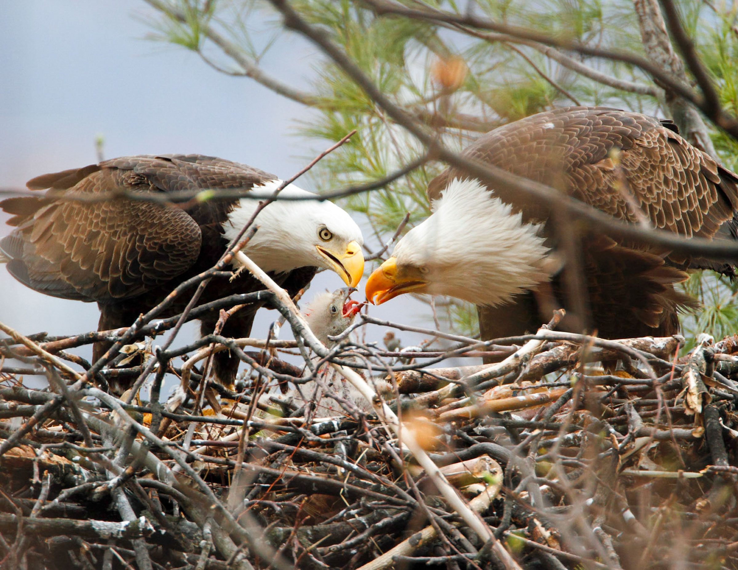 Bald Eagles. Steven Sachs/Audubon Photography Awards