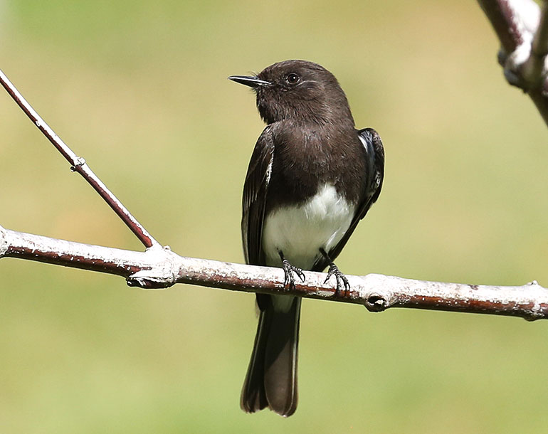 With a clear black-and-white color pattern, the Black Phoebe, which is located out West, is even easier to identify than the Eastern Phoebe. Emerald Louise/Great Backyard Bird Count