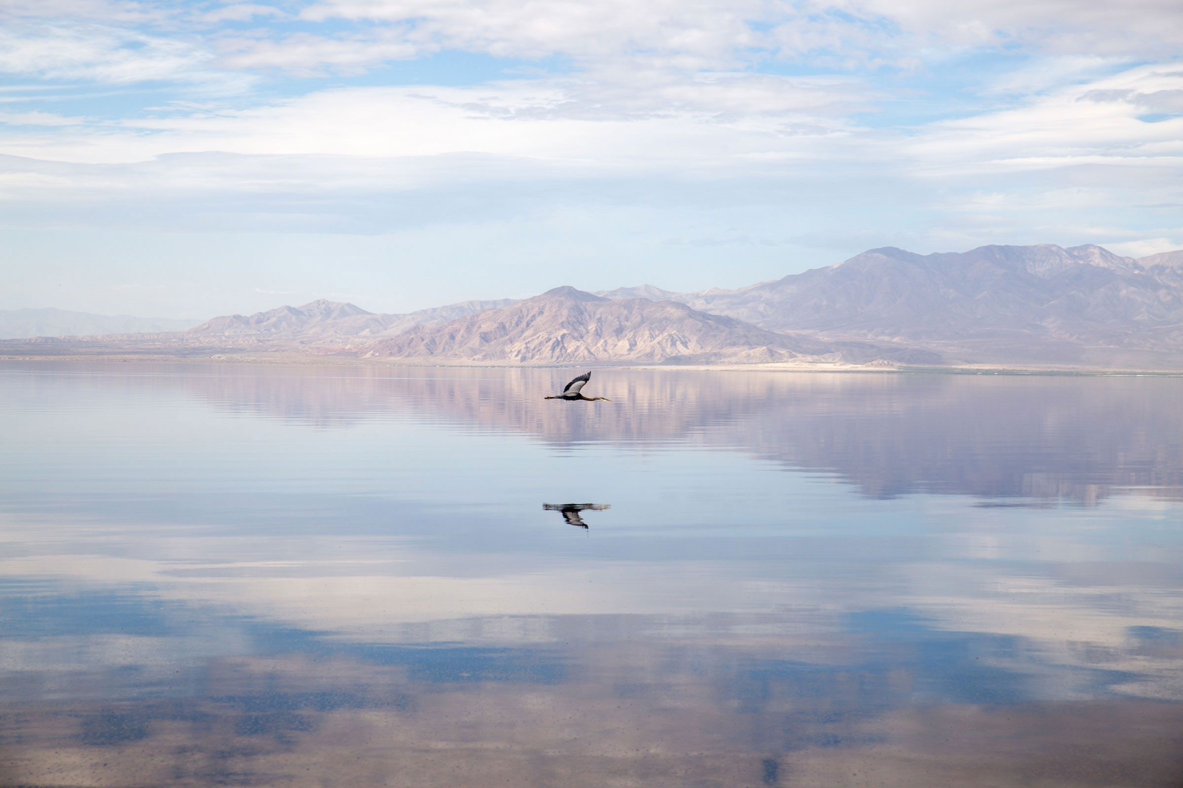 Great Blue Heron flies over the Salton Sea. Mike Fernandez/Audubon