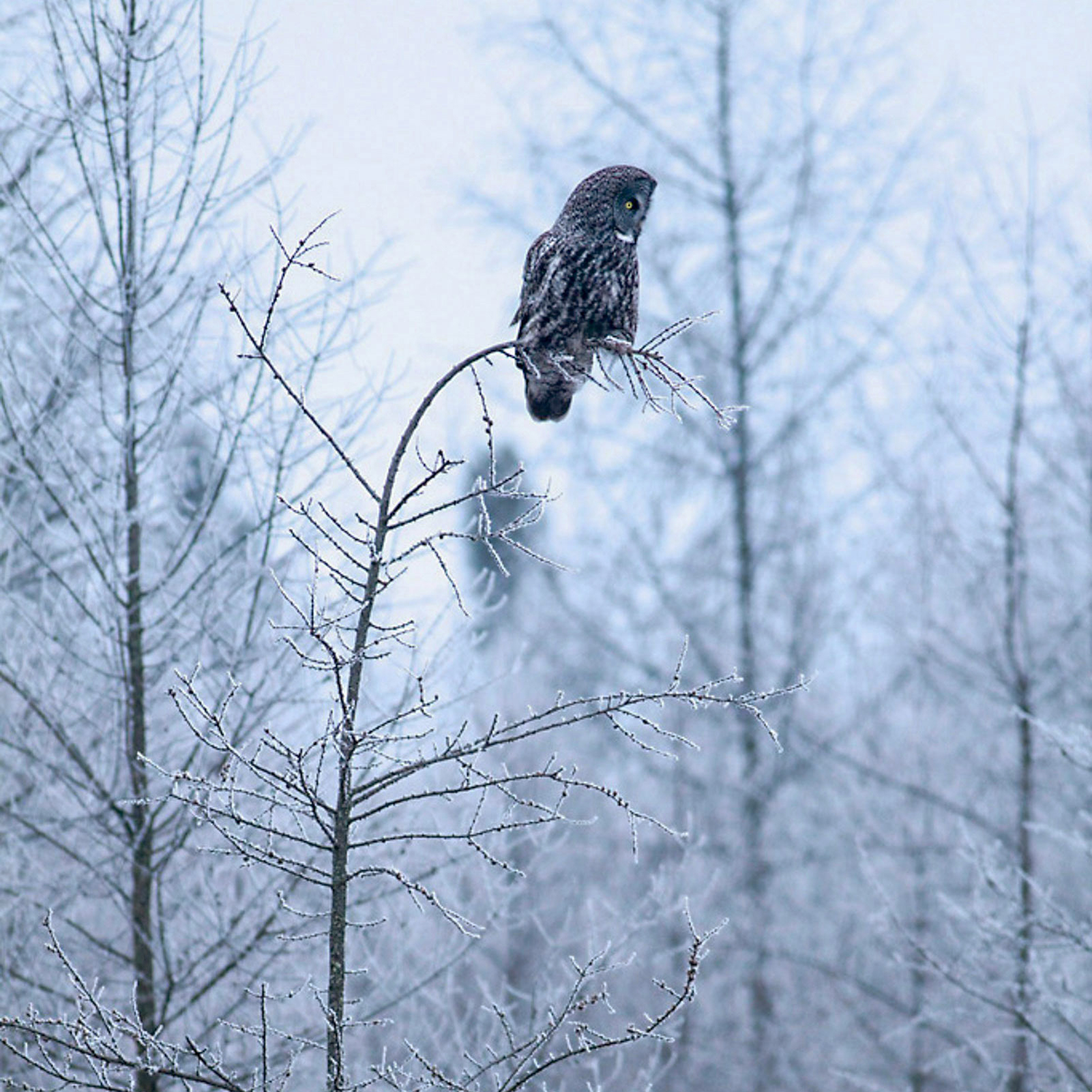 Go ahead and stay indoors; you'll only miss the chance to glimpse a majestic Great Grey Owl. Sparky Stensaas/Audubon Photography Awards