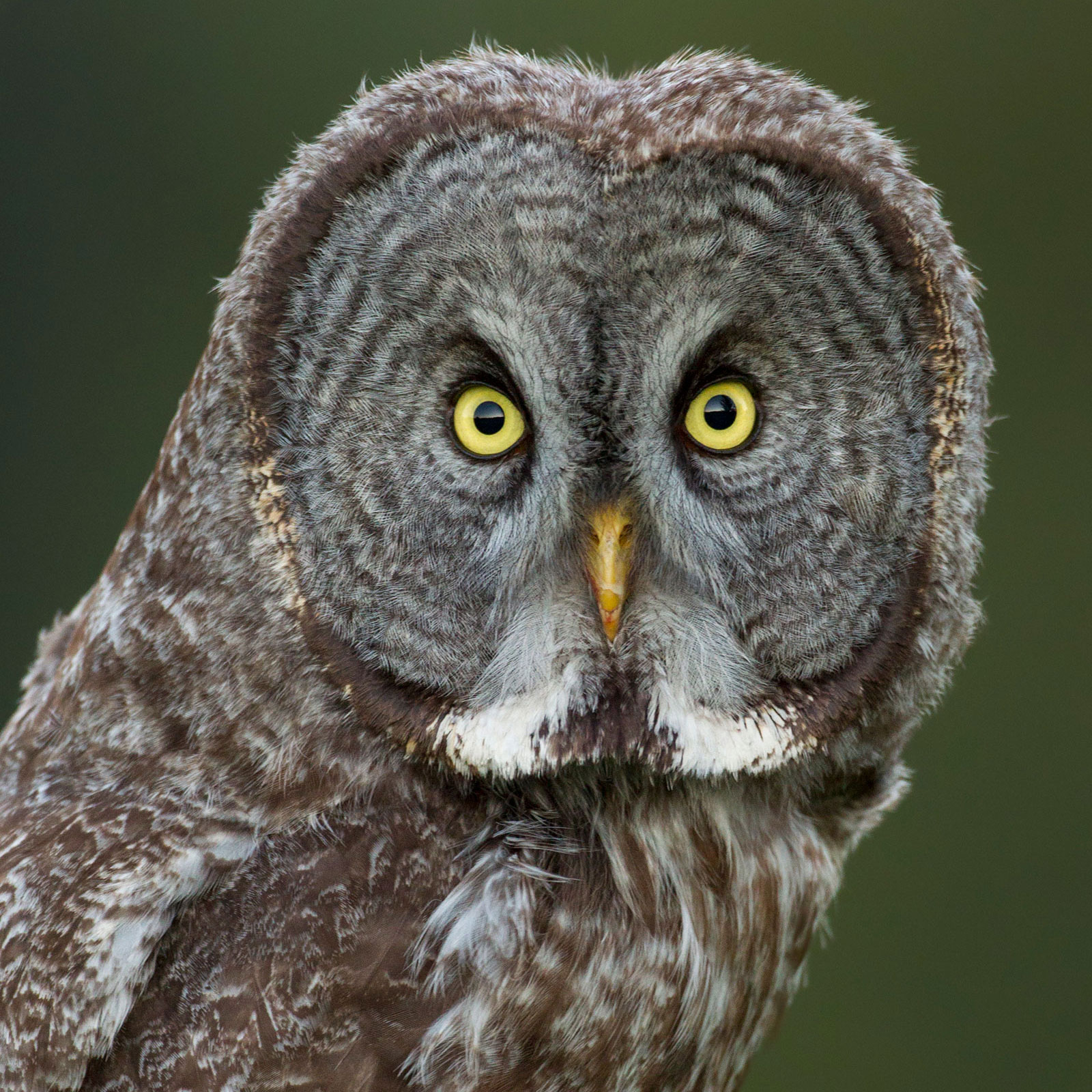Great Gray Owl. Connor Stefanison