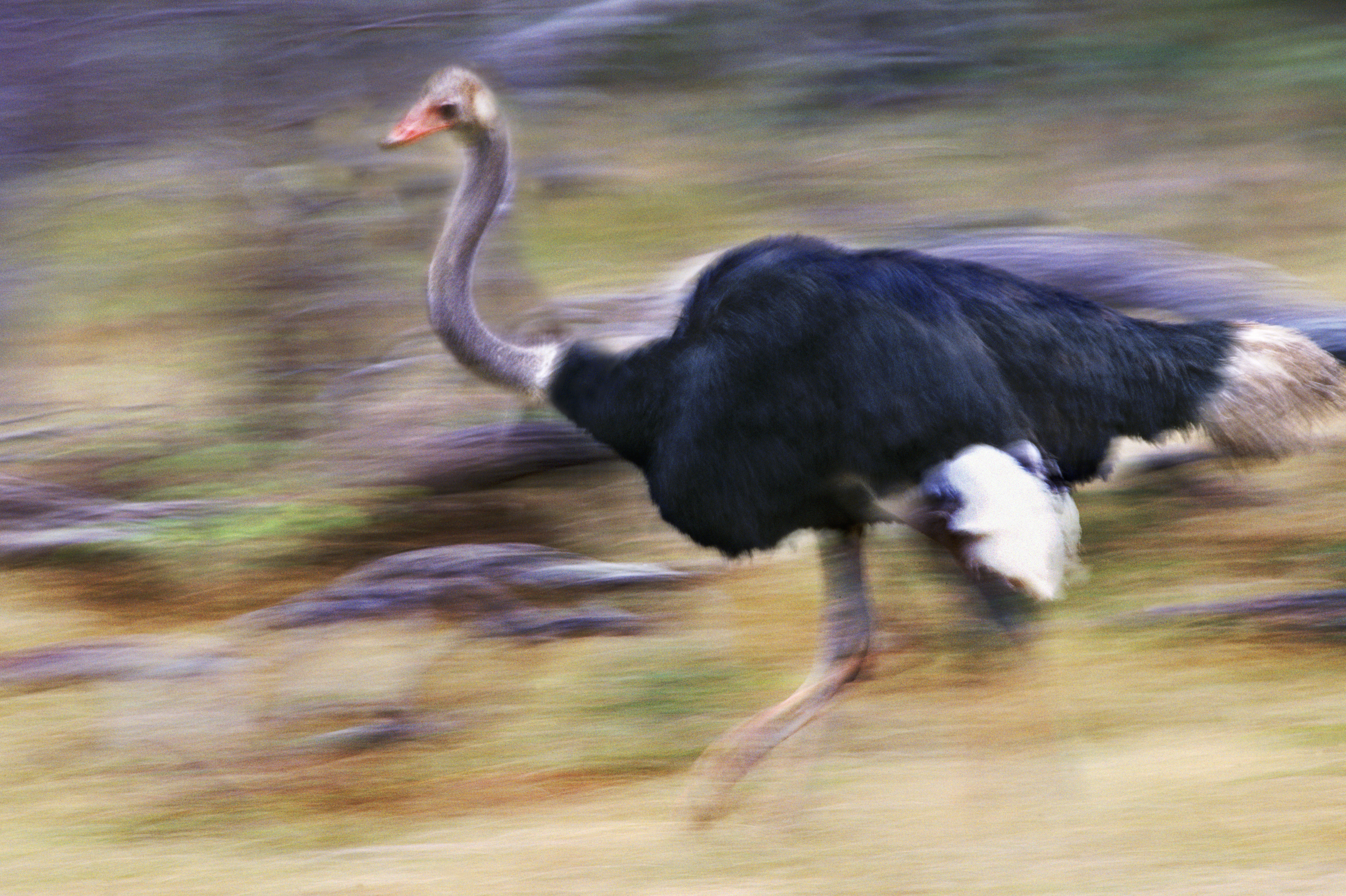 Common Ostrich. Steve Bloom Images/Alamy