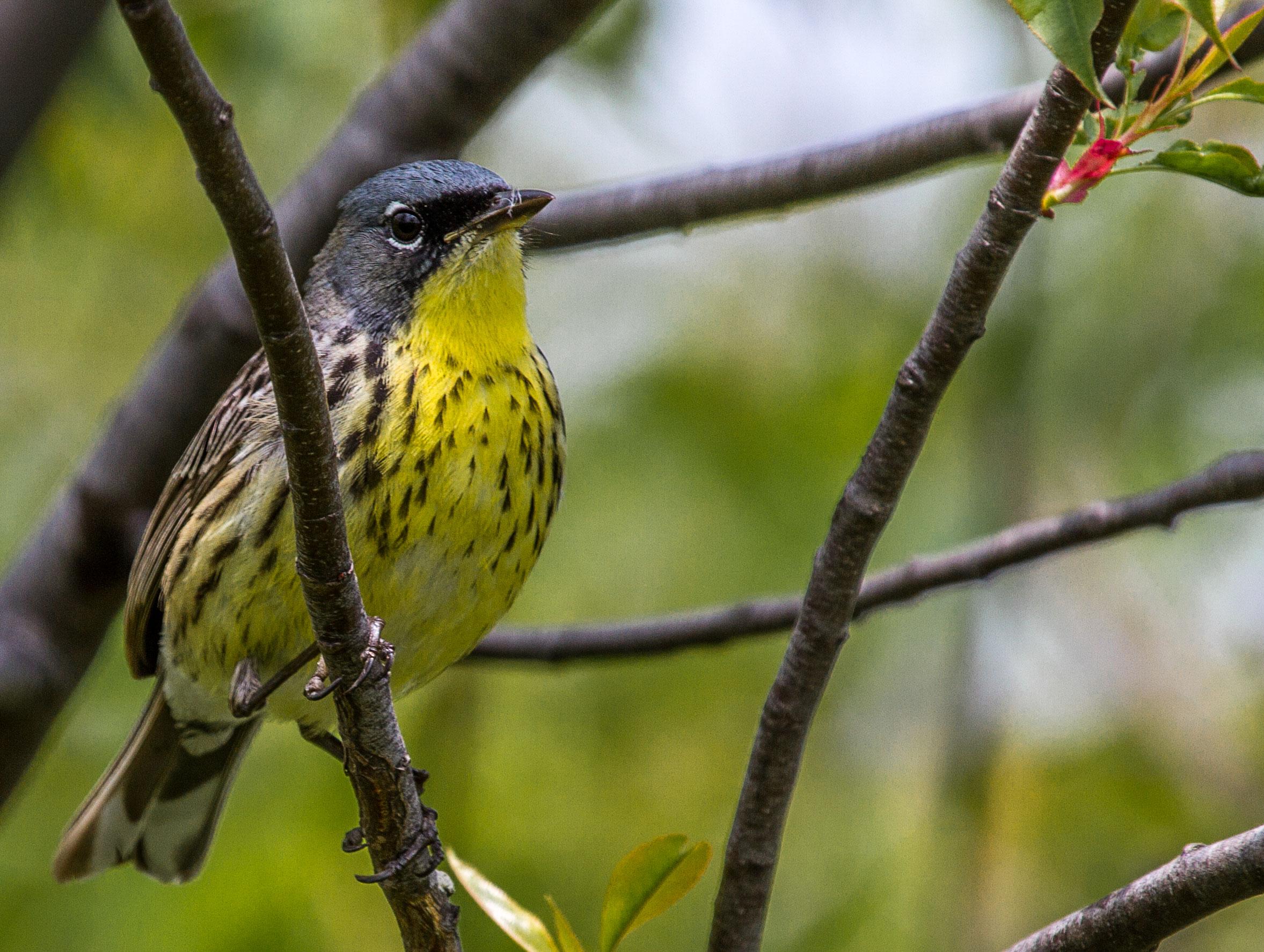 Kirtland's Warbler. Eric Fishel/Audubon Photography Awards