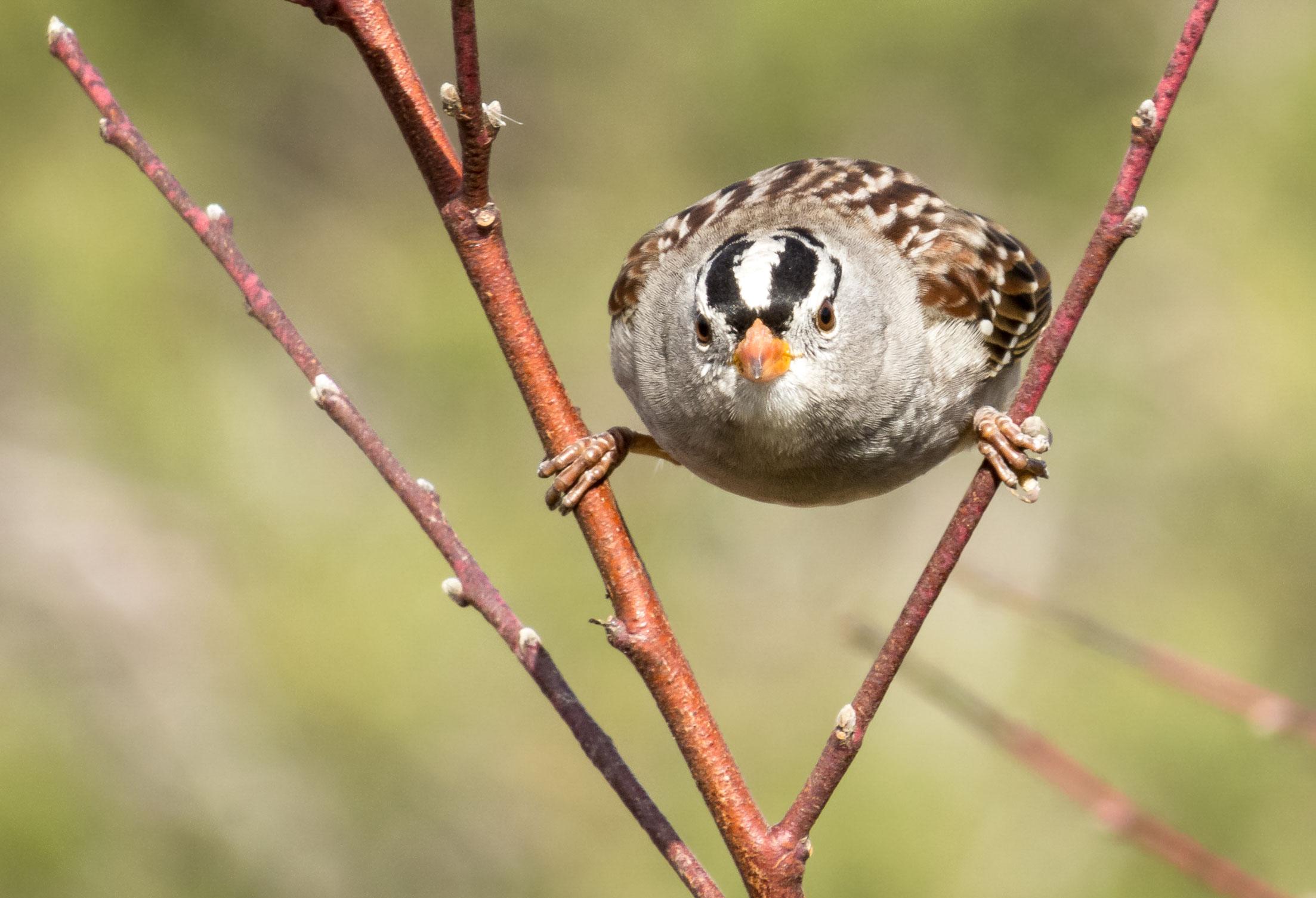 White-crowned Sparrow on a willow. Ryan Rubino/Audubon Photography Awards