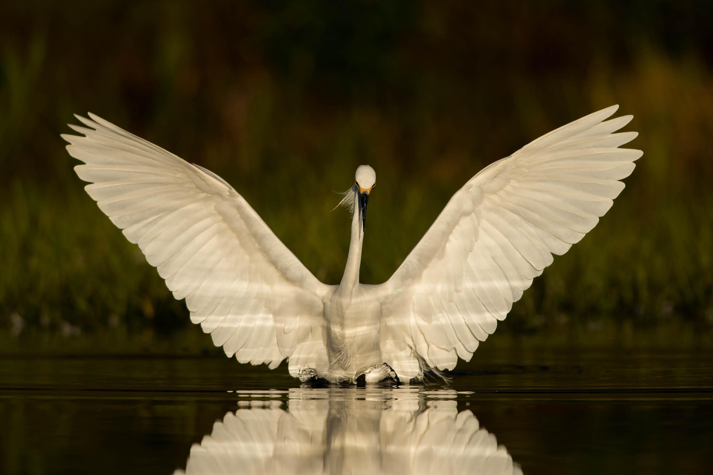Snowy Egret. Peter Brannon/Audubon Photography Awards
