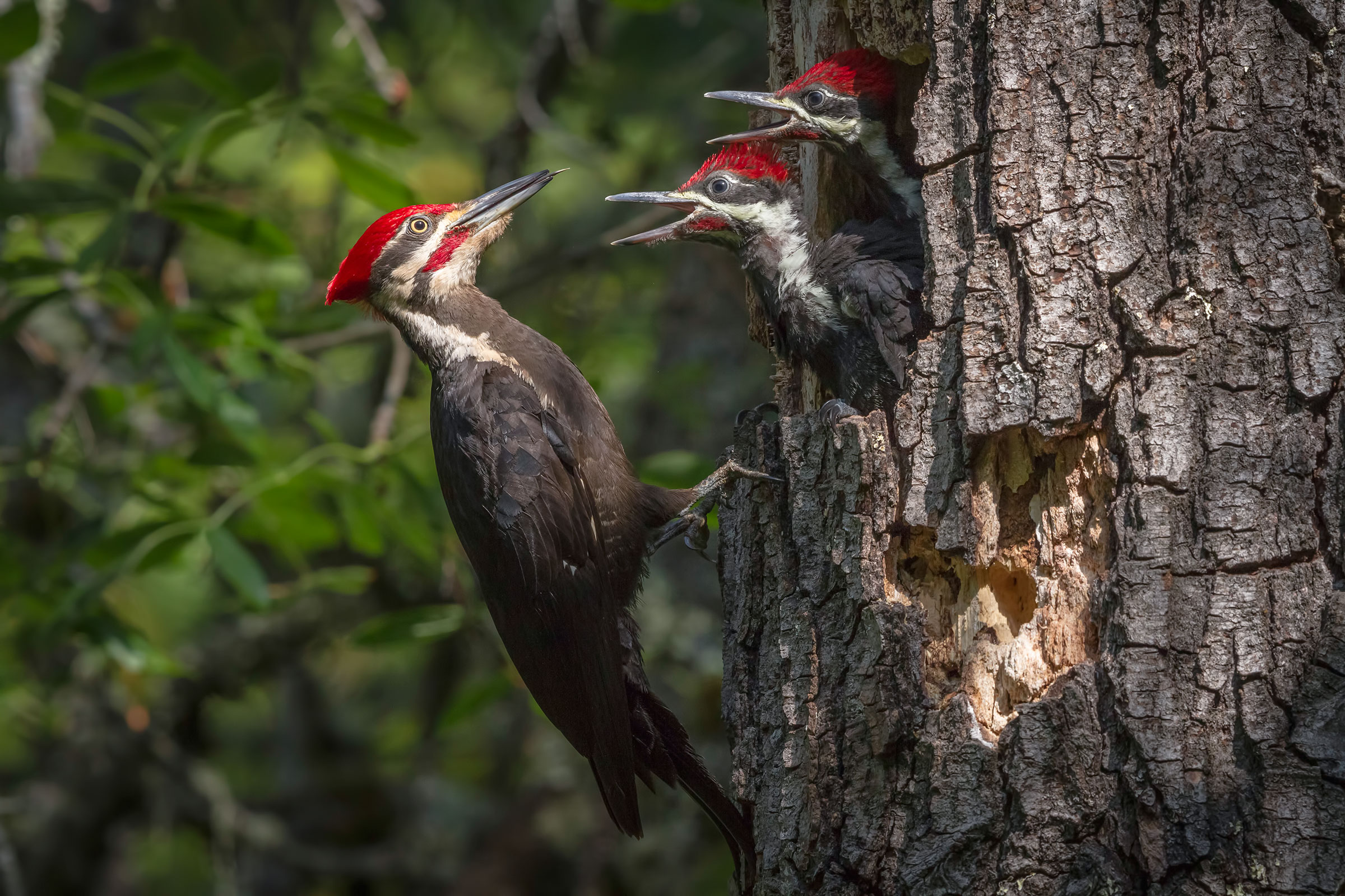Pileated Woodpecker chicks make buzzy calls while waiting for their food to be delivered. Sylvia Hunt/Audubon Photography Awards