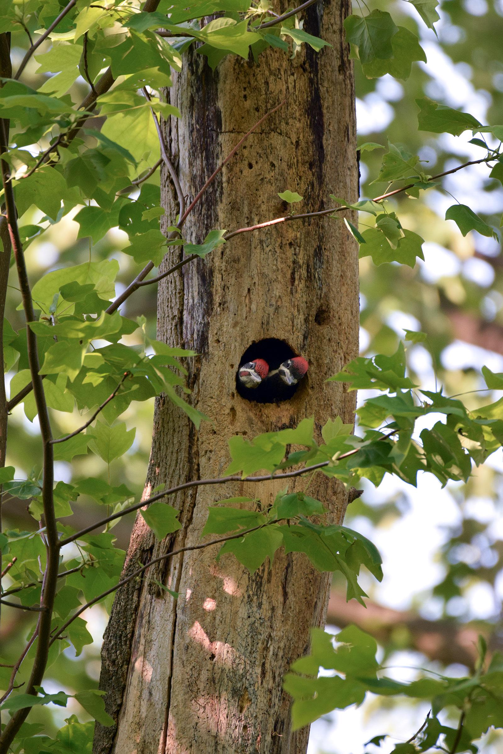 Pileated Woodpeckers. Carolyn Kotarski/Audubon Photography Awards
