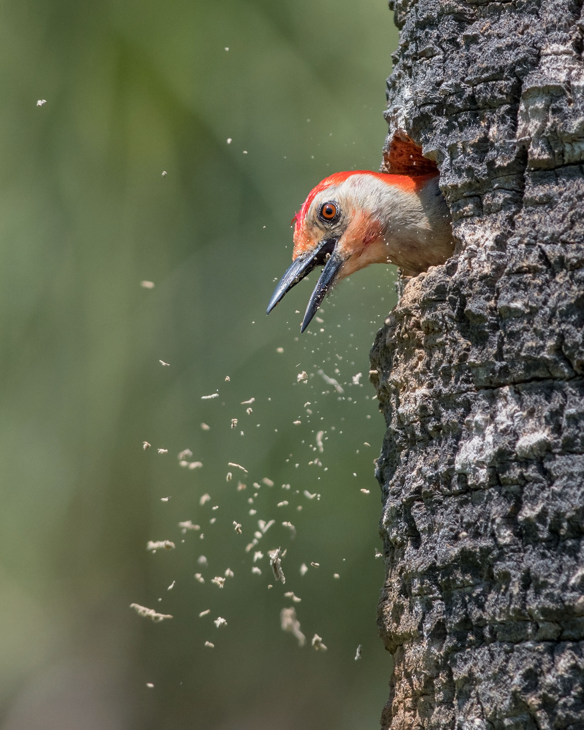 Red-bellied Woodpecker. Peter Brannon/Audubon Photography Awards