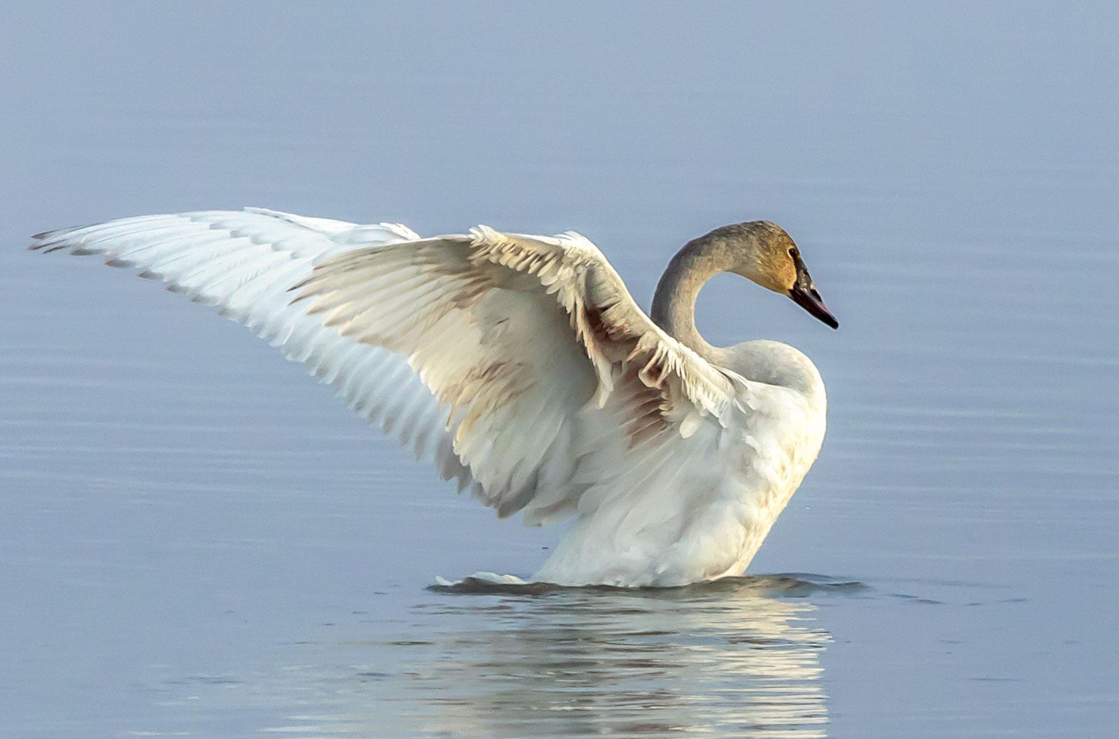 Trumpeter Swan. Sandy Brooks/Audubon Photography Awards