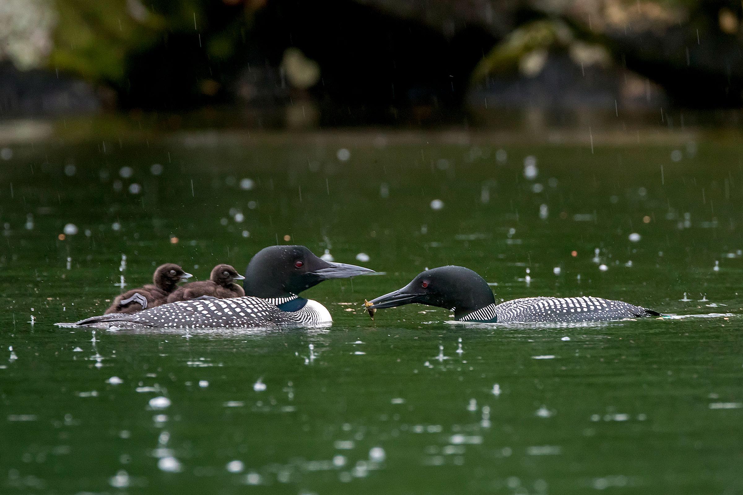 Fish-eating birds like Common Loons are especially prone to mercury exposure. Howard Arndt/Audubon Photography Awards