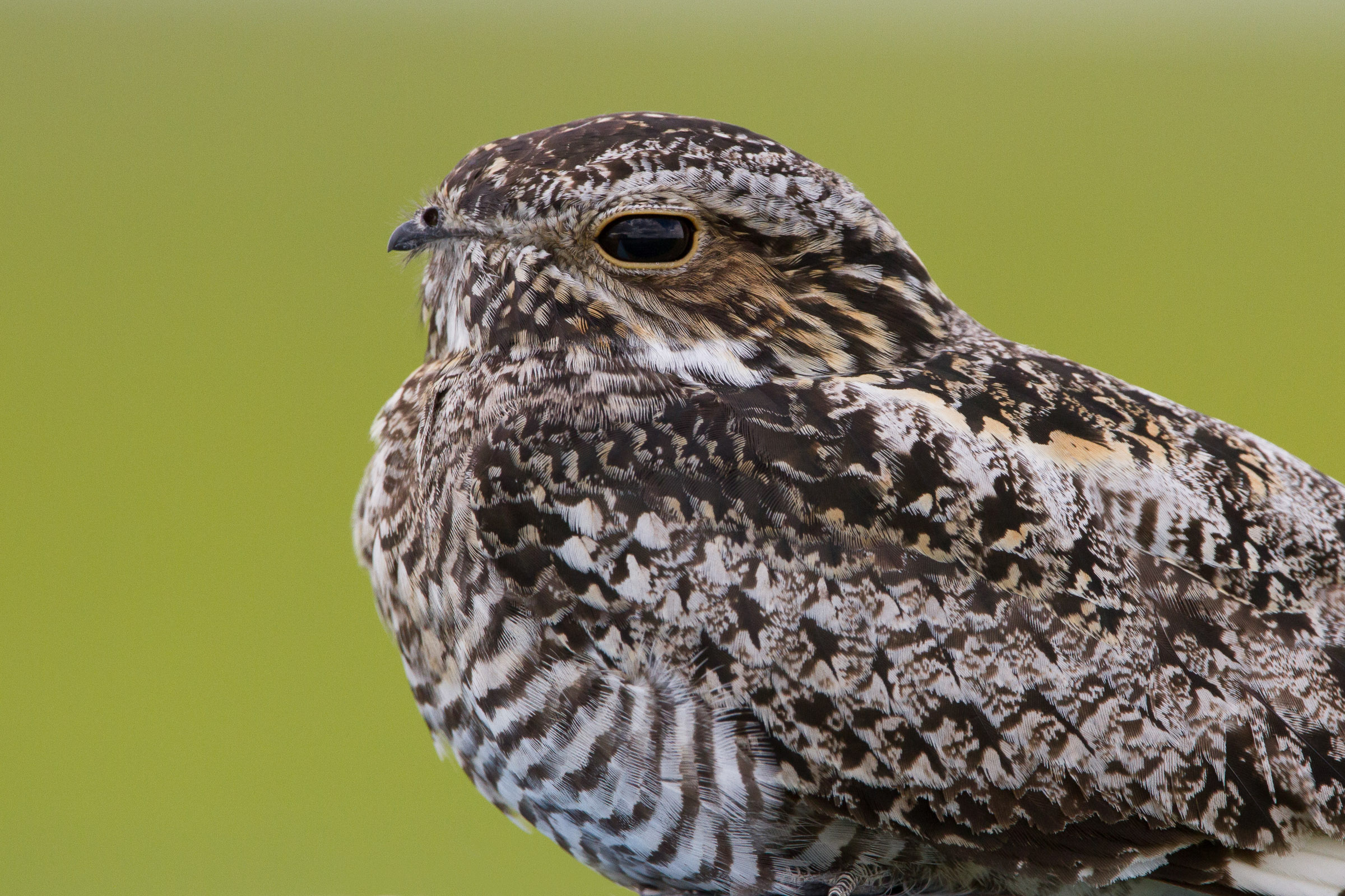 Nightjars - a guide to nightjars and related nightbirds