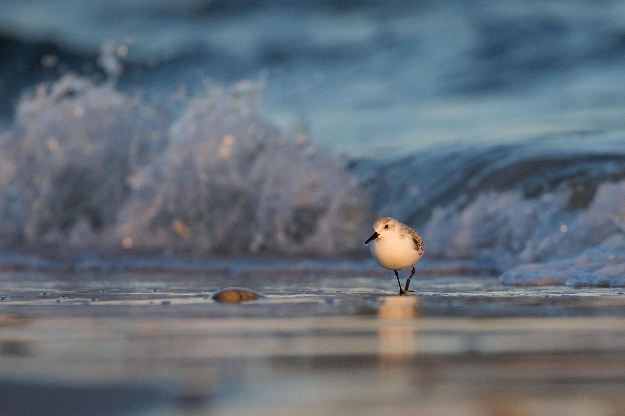 Sanderling. Traci Sepkovic/Audubon Photography Awards