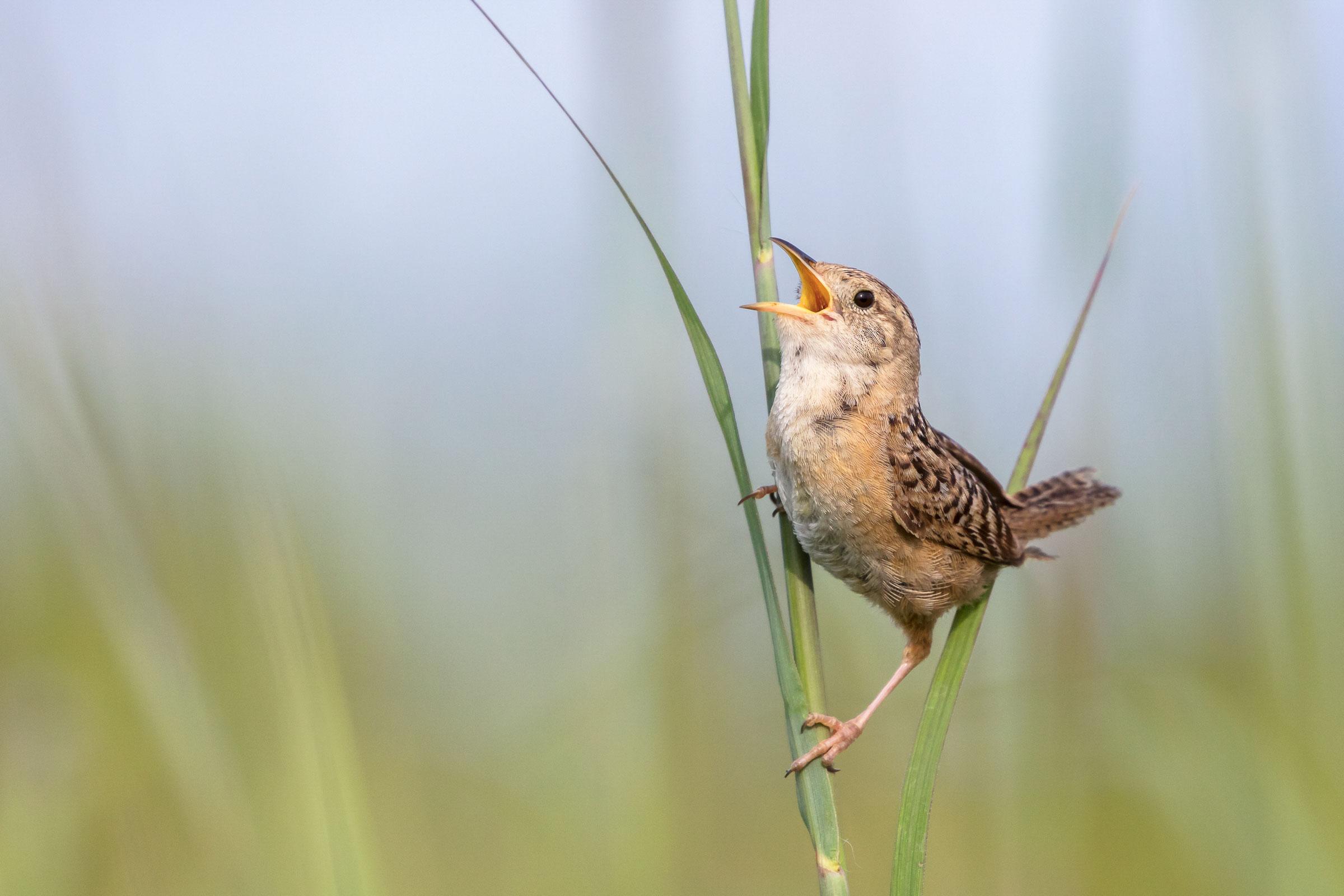 Sedge Wren. Kathryn Cubert/Audubon Photography Awards