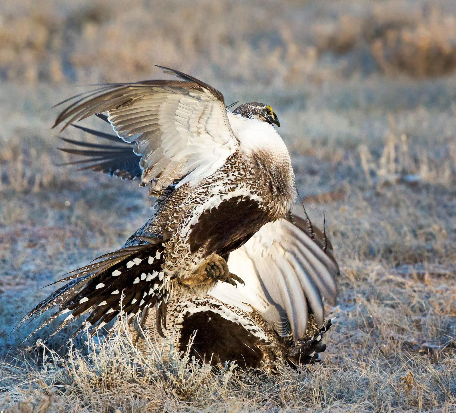 Grijalva says he may introduce legislation to protect a 2015 Greater Sage-Grouse conservation agreement. Odalys Muñoz Gonzalez/Audubon Photography Awards