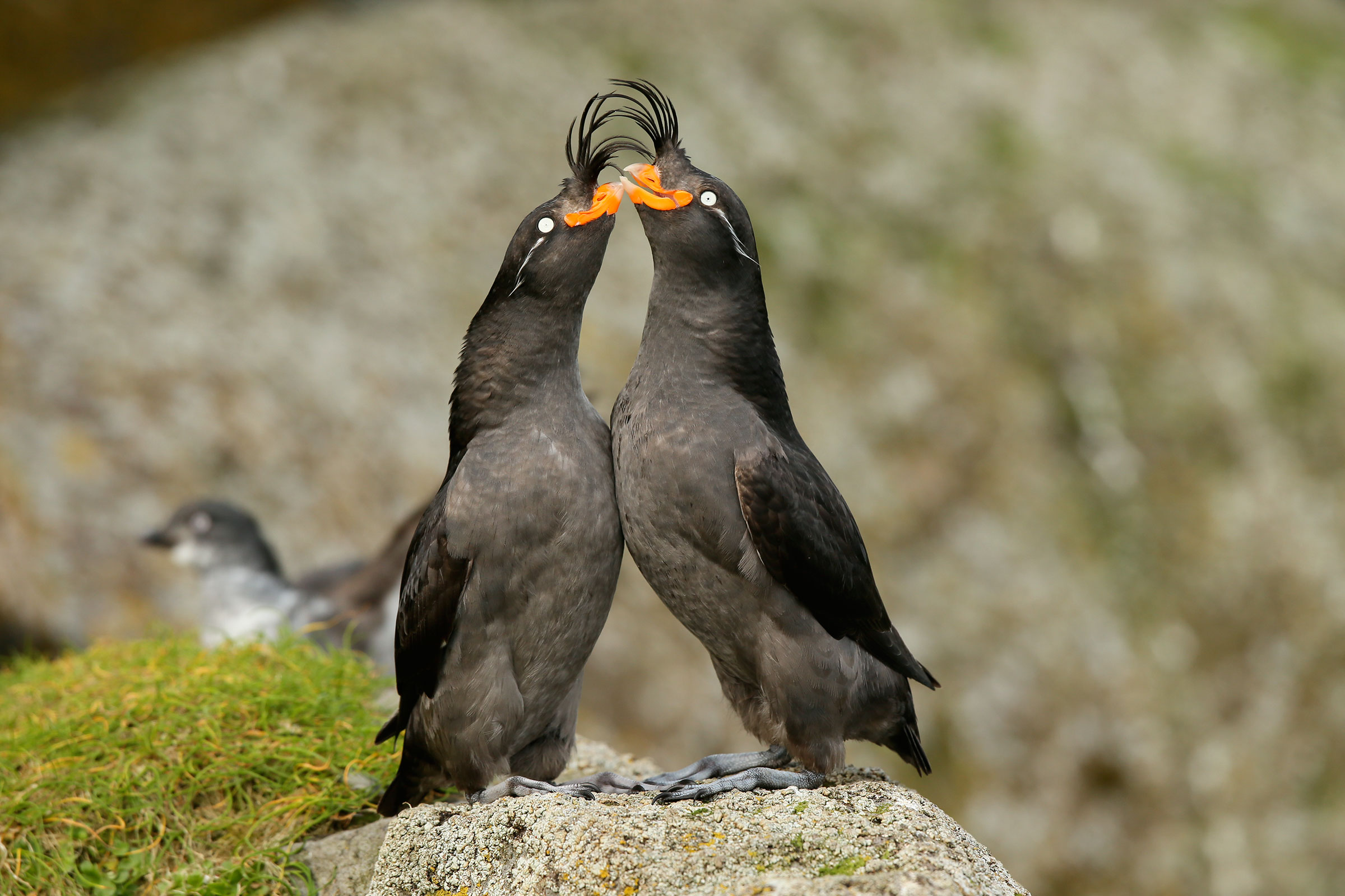 An undisturbed Crested Auklet courting pair (male on right, female on left - identifiable by their differing bill shape). Ian L. Jones