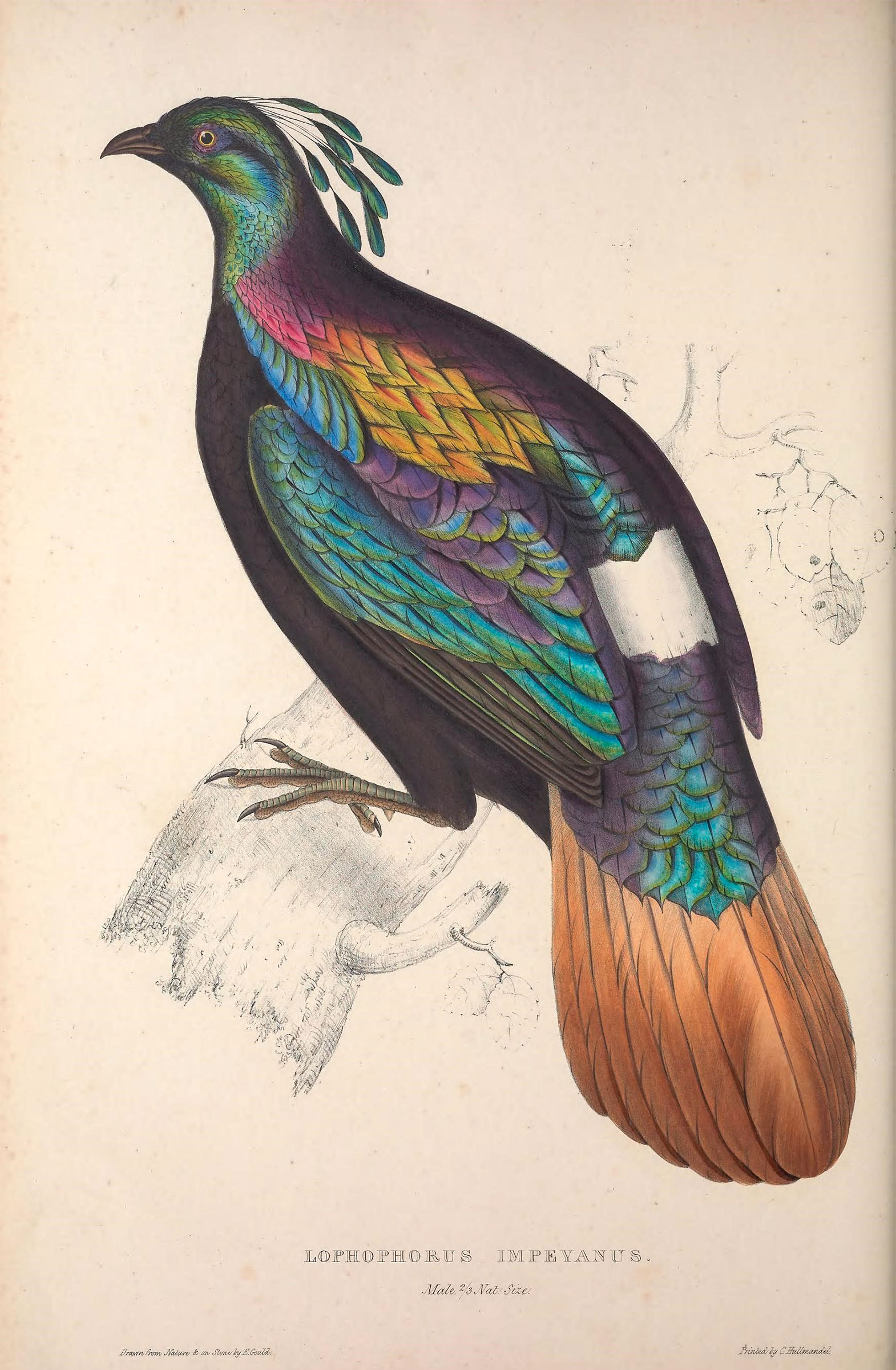 Himalayan Monal from A Century of Birds from the Himalaya Mountains. Illustration: Elizabeth Gould/Public Domain