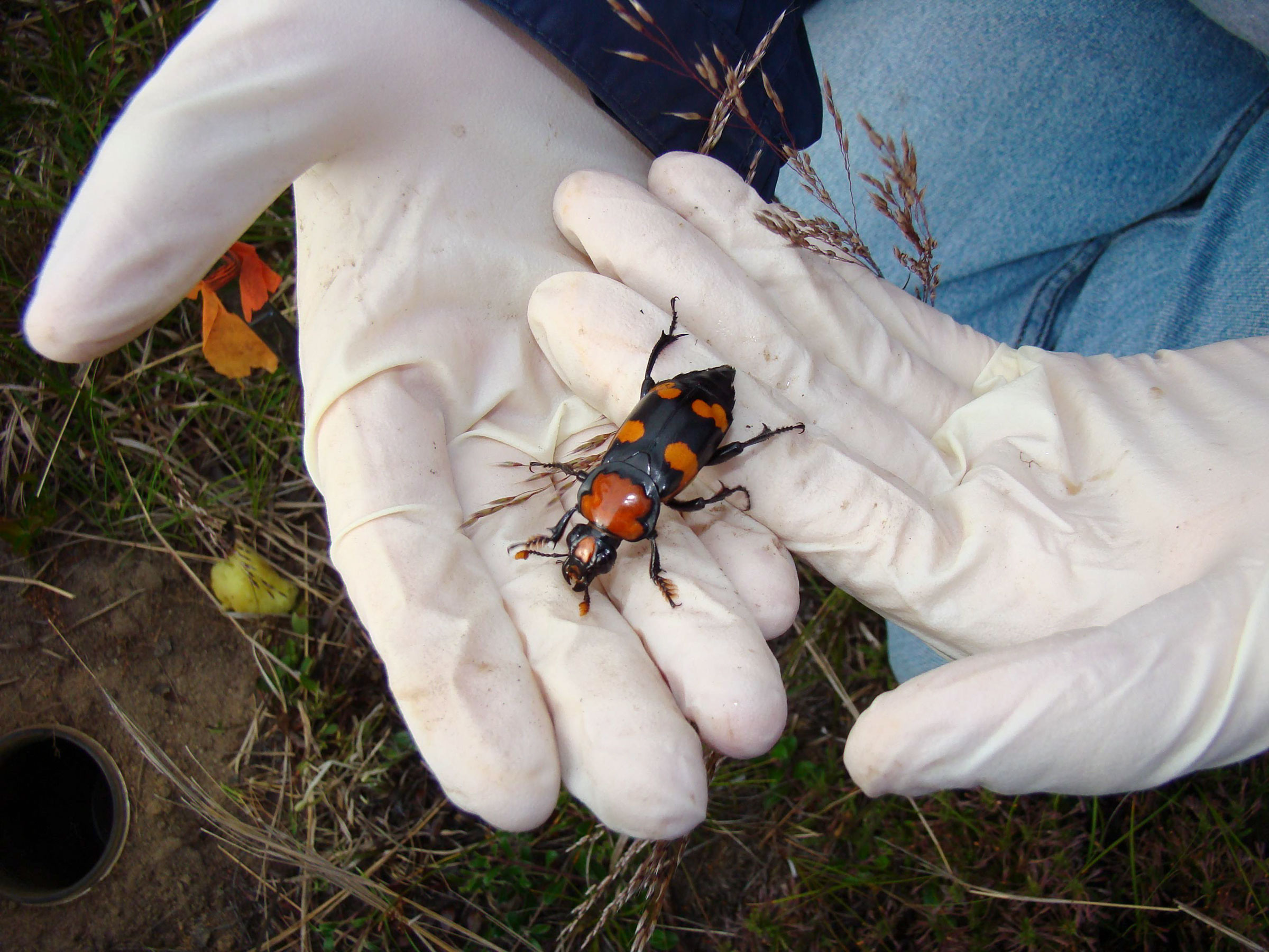 With the reintroduced beetle population doing well, scientists stopped providing bird carcasses to the beetles, hoping they'd find their own. The population plummeted. Courtesy of Roger Williams Park Zoo