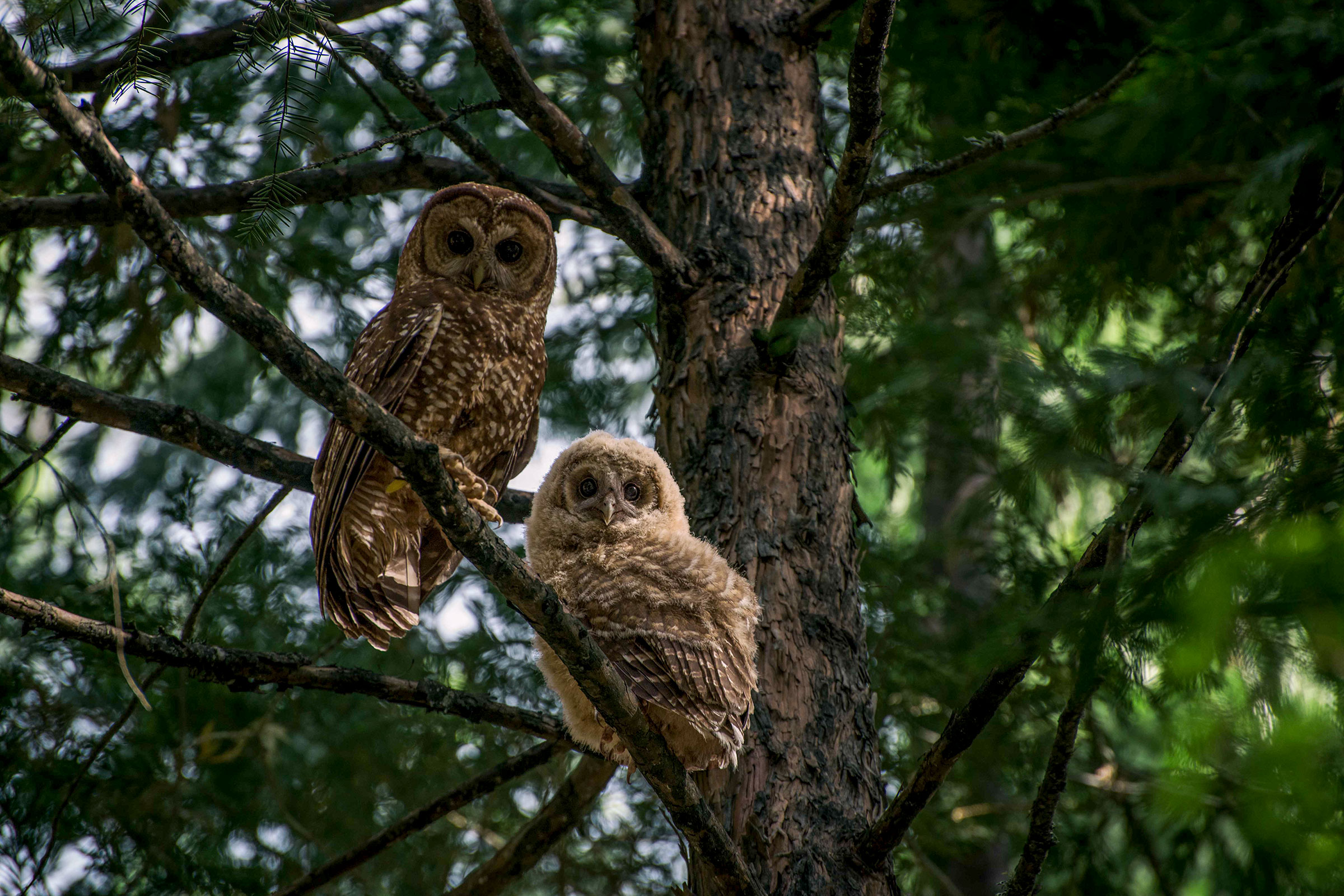 California Spotted Owls avoid large, intensely burned areas after fire, according to Gavin Jones's research. They rarely venture more than 300 feet into a severe-burn area. Danny Hofstadter