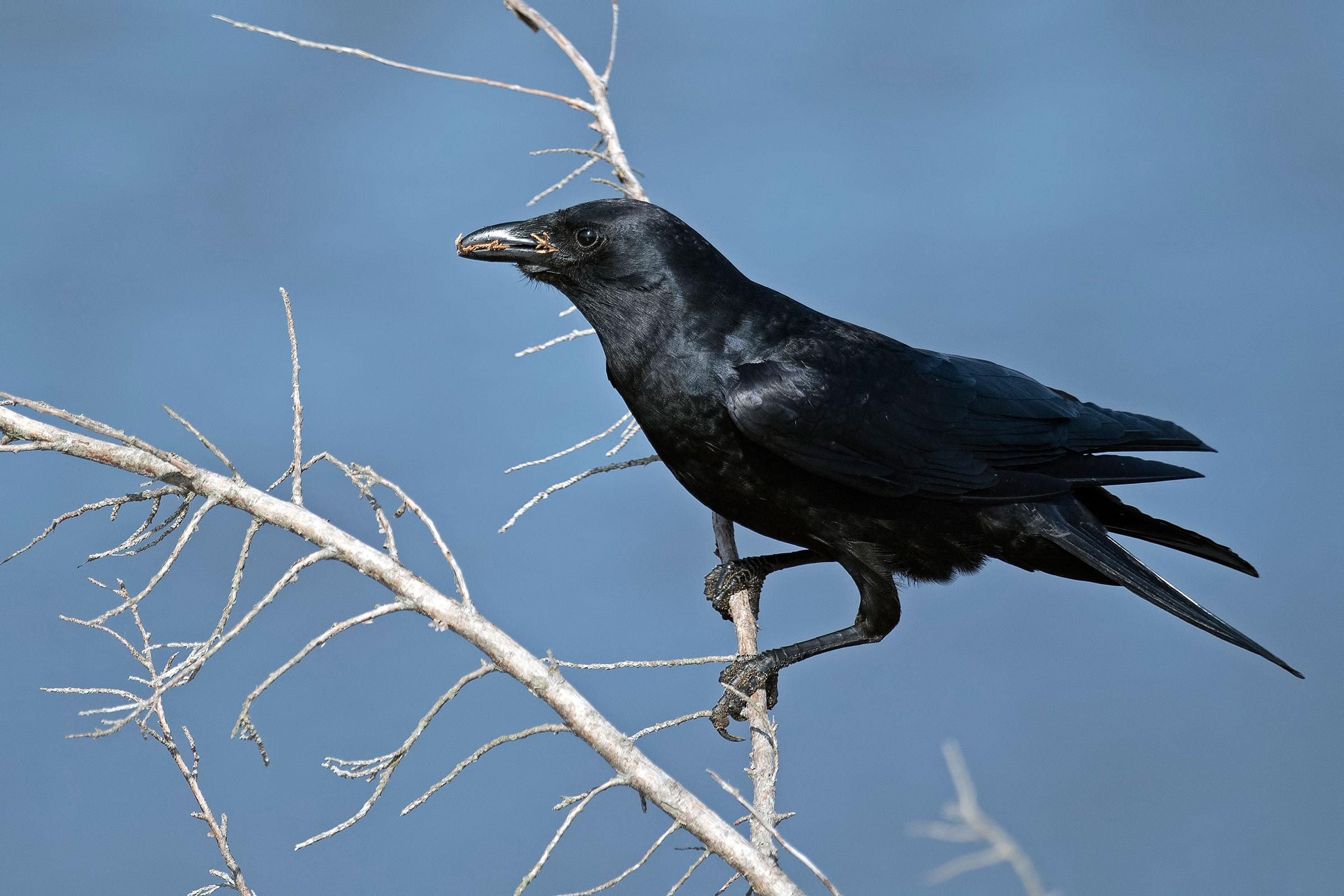 American Crow. Brian Kushner