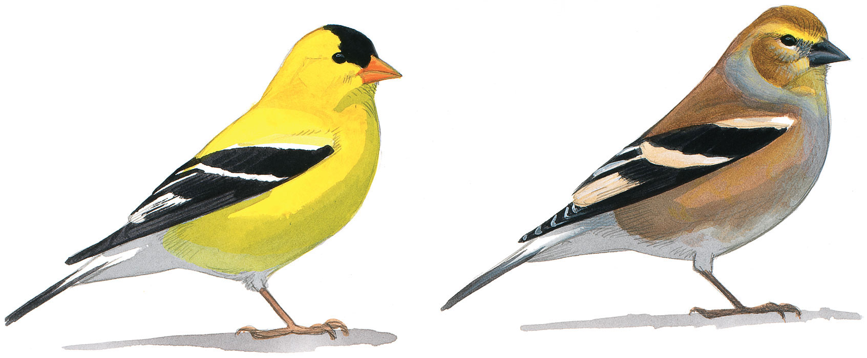 A male American Goldfinch in drab winter plumage (right) and bright yellow summer plumage (left). Illustration: David Allen Sibley