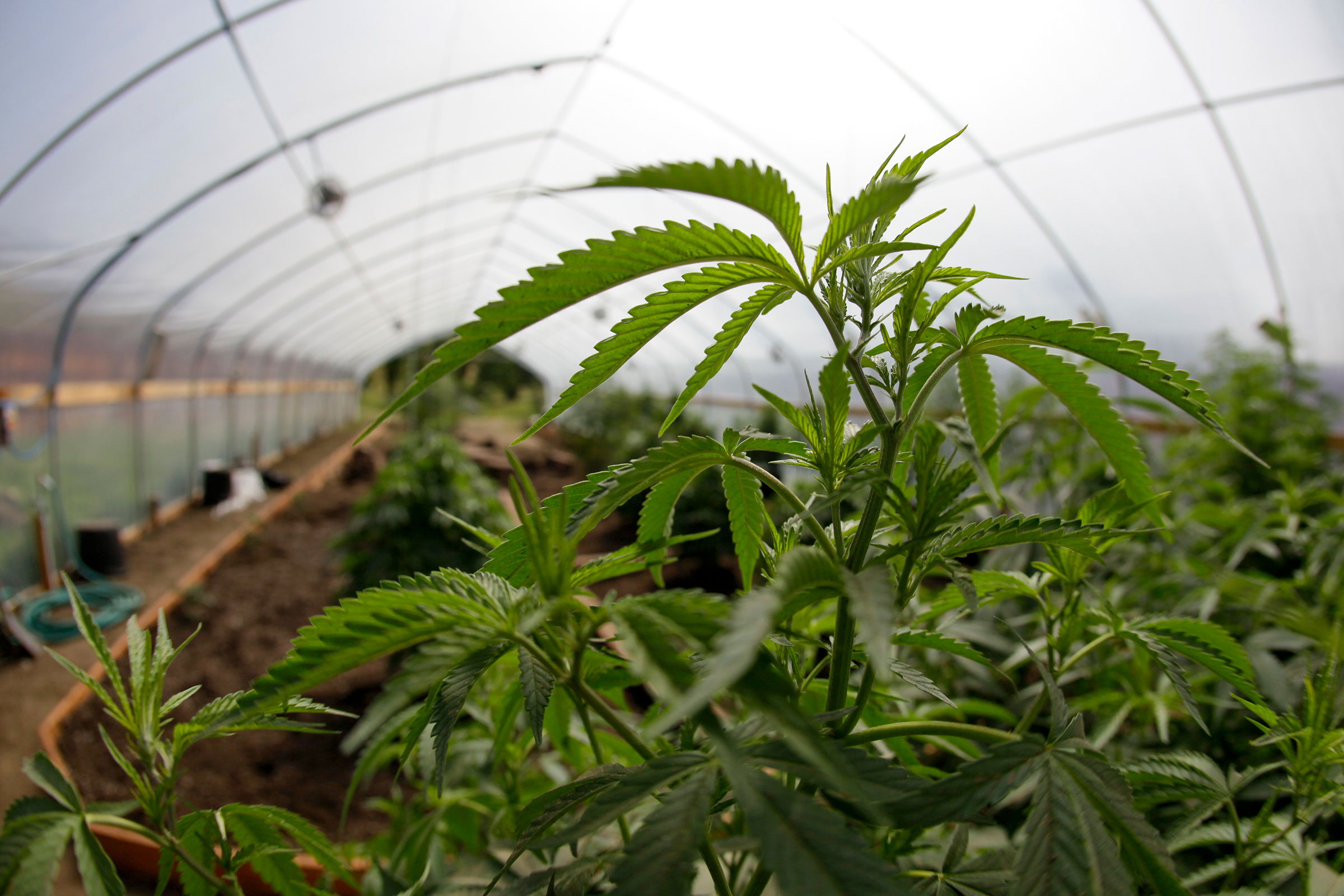 A medically licensed greenhouse in Mendocino County, part of the Emerald Triangle. After decades of growing record amounts of illegal pot, Mendocino, Humboldt, and Trinity will be an interesting testing ground for Proposition 64. Eric Risberg/AP