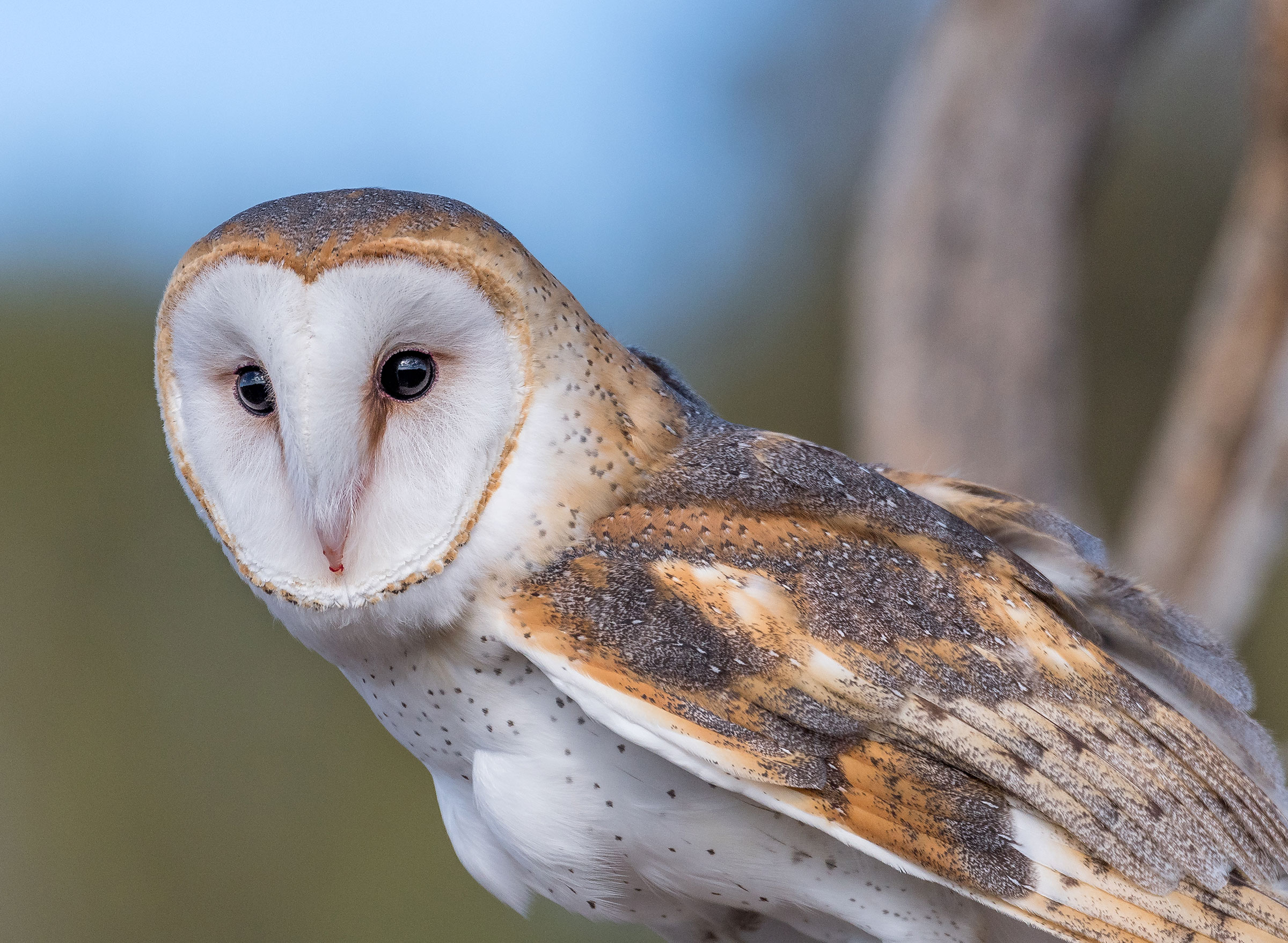 Barn Owl. Shlomo Neuman/Audubon Photography Awards
