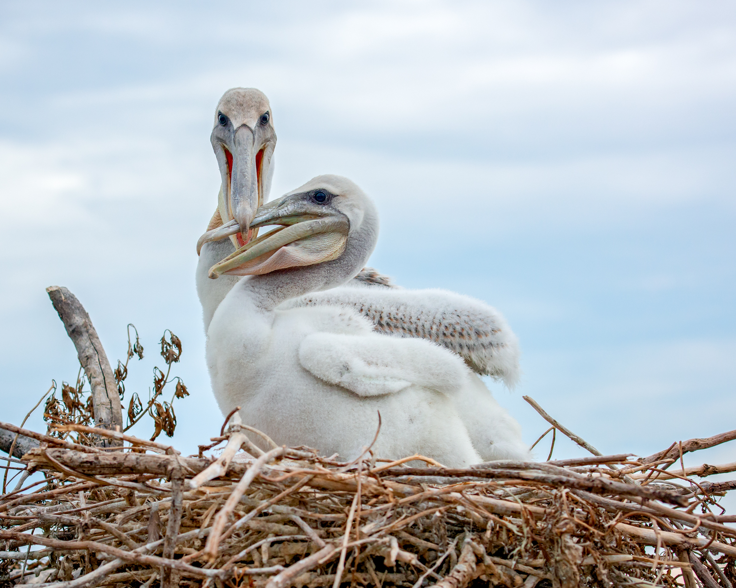 Brown Pelican Nestlings