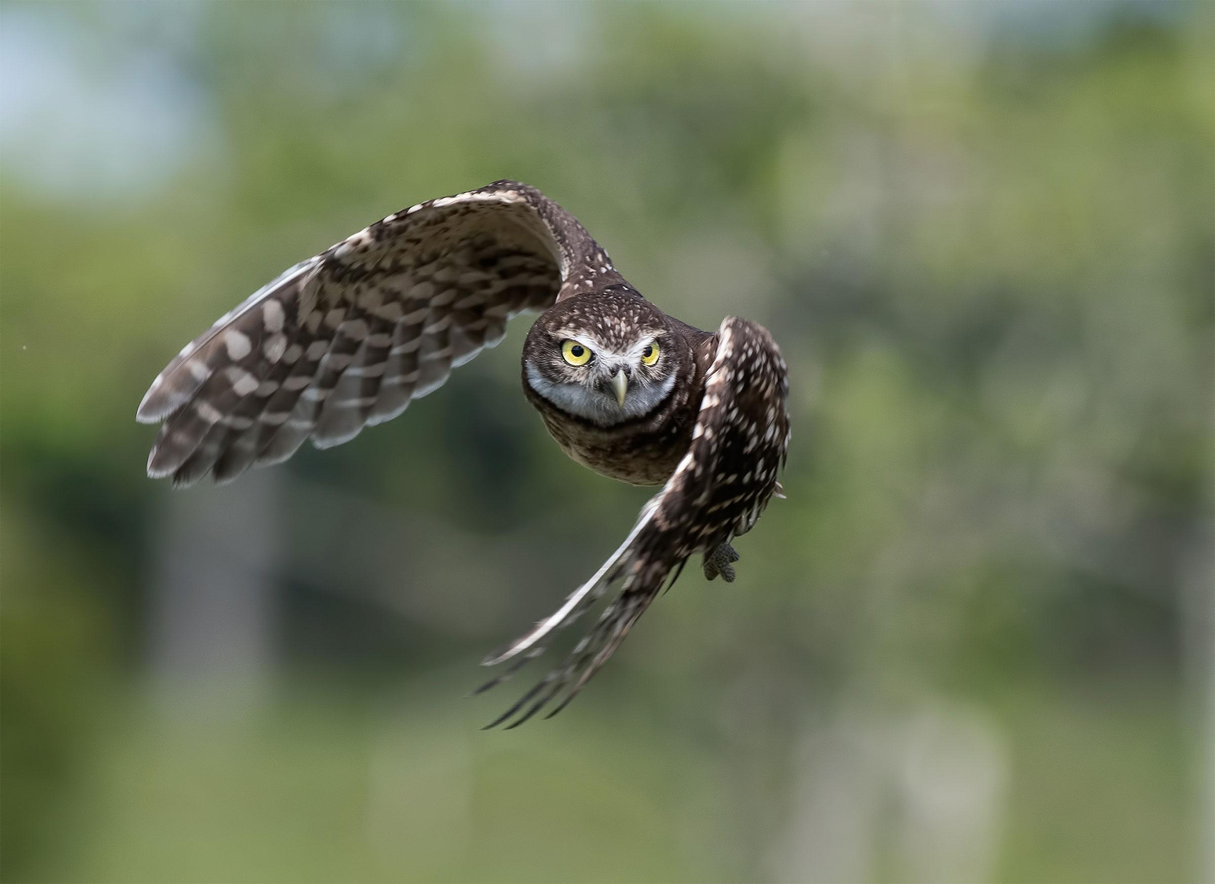 Burrowing Owl. Judy Lynn Malloch/Audubon Photography Awards