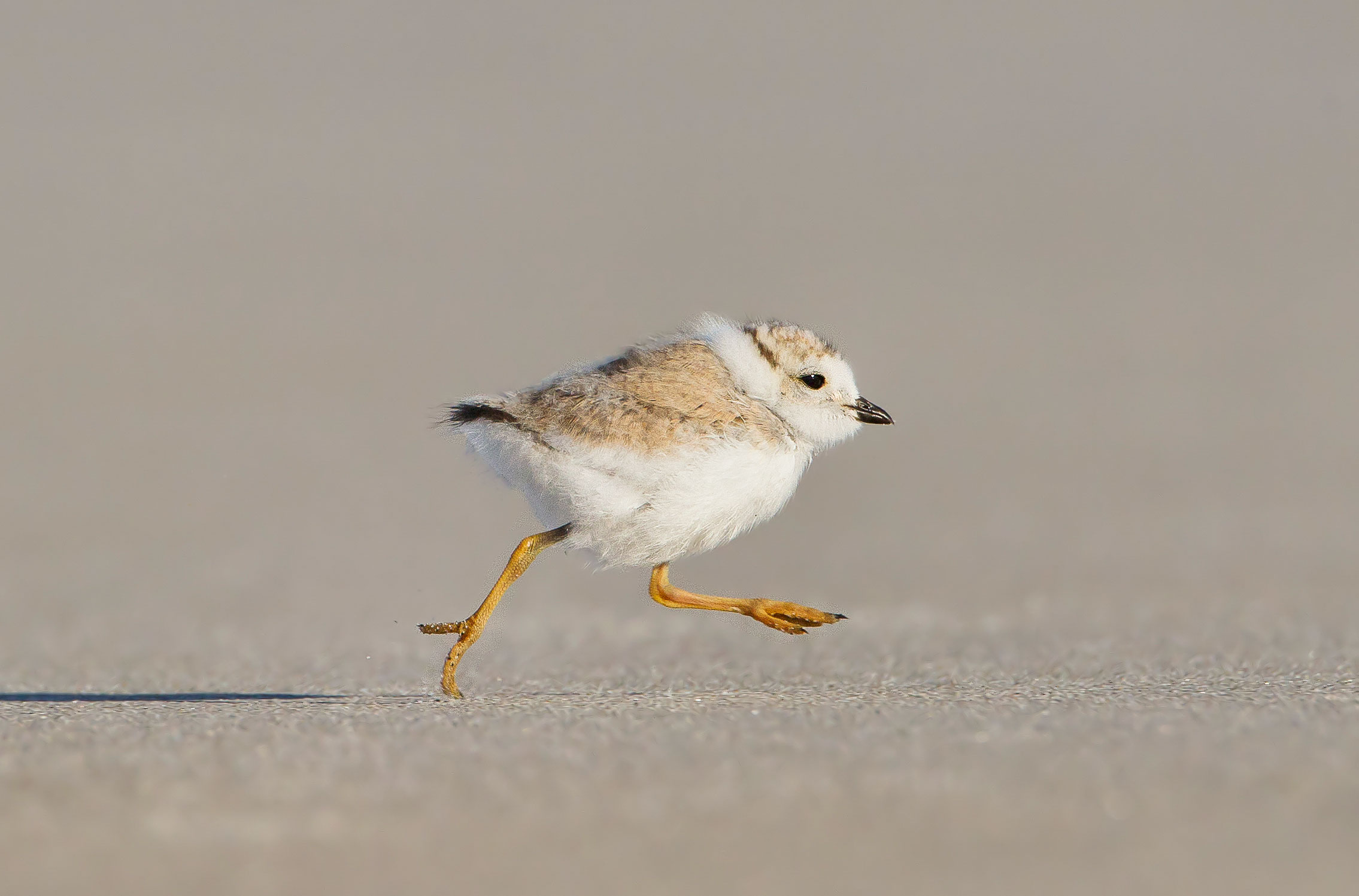 Unlike songbirds, Piping Plover and other shorebird chicks are born with feathers and ready to run—from predators. Melissa Groo/Audubon Photography Awards
