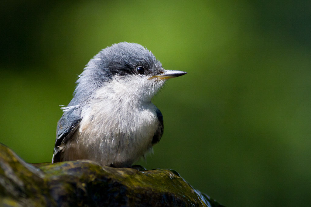 Juvenile Pygmy Nuthatch. Ron Racine/Audubon Photography Awards