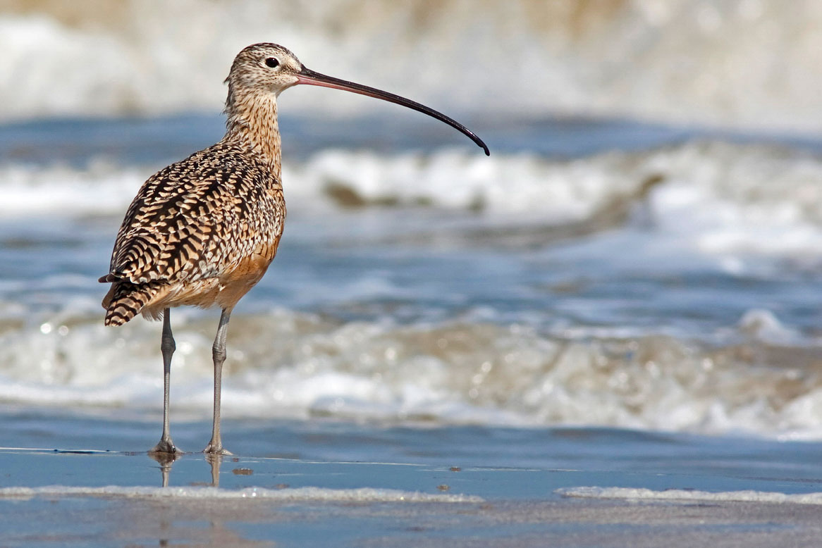 Long-billed Curlews, which breed in North America, are faring well, relative to other curlew species—but climate change may reduce their summer range significantly. Stephen Pollard/Audubon Photography Awards