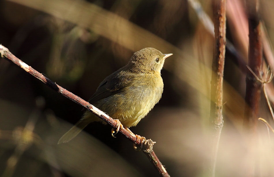 Juvenile Common Yellowthroat. Joshua Parrott/Audubon Photography Awards